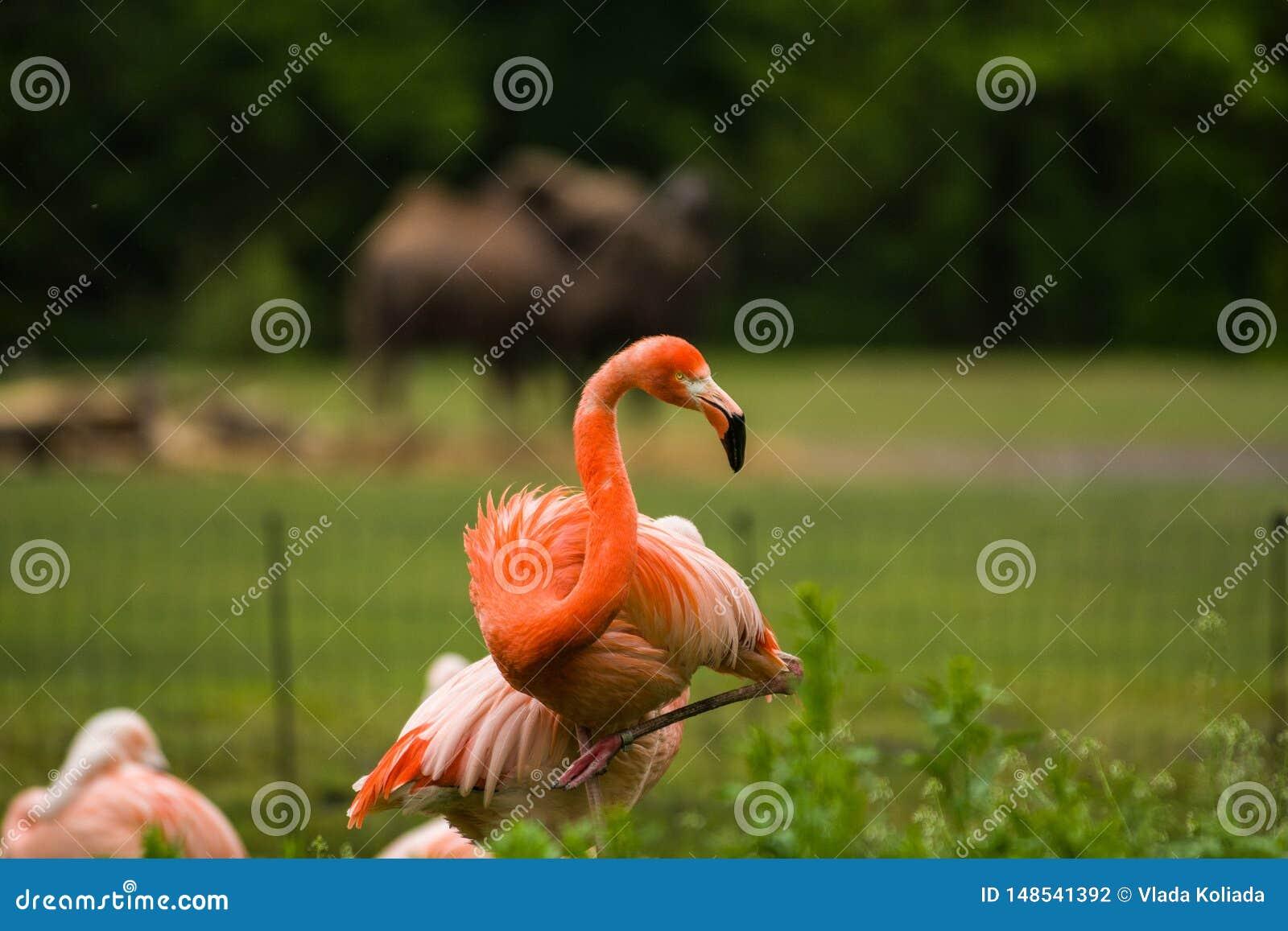 Packe av ljusa f?glar i en gr?n ?ng n?ra sj?n Exotiska flamingo genomdr?nkte rosa och orange f?rger med fluffiga fj?drar