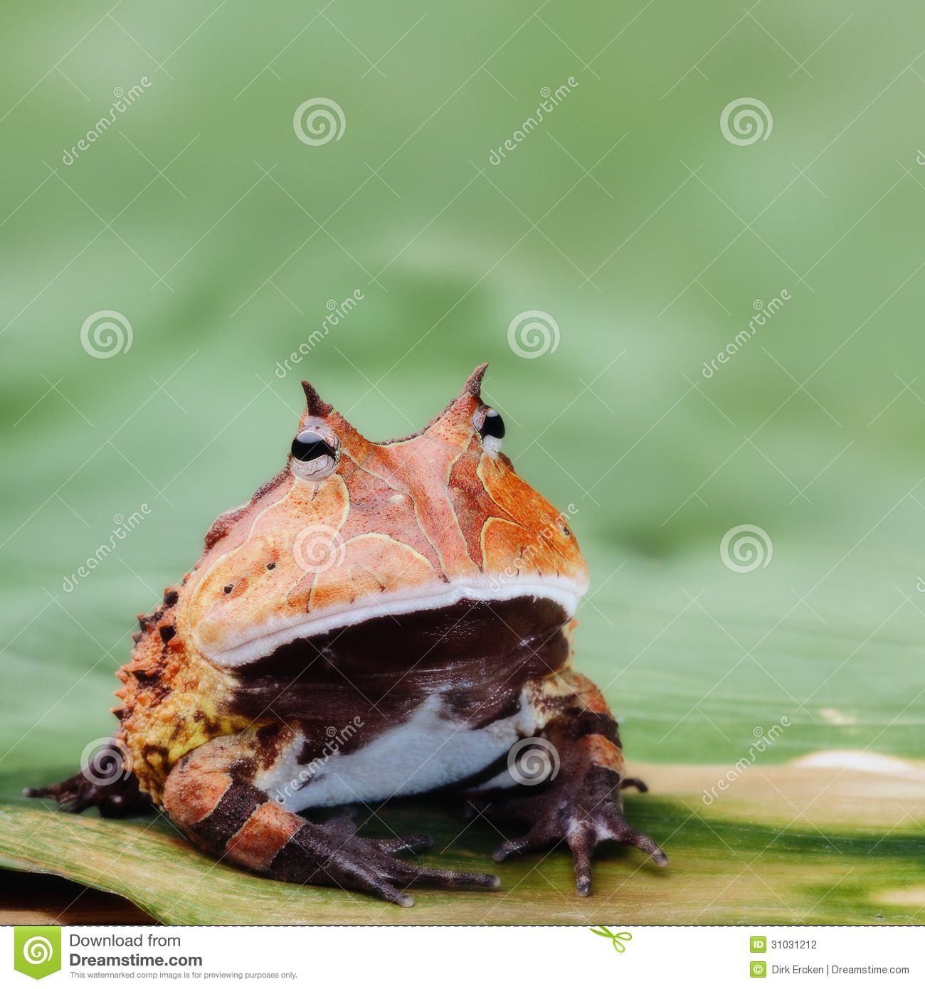 Pacman Frog Or Horned Toad Amazon Rain Forest Stock Photo - Image of ...