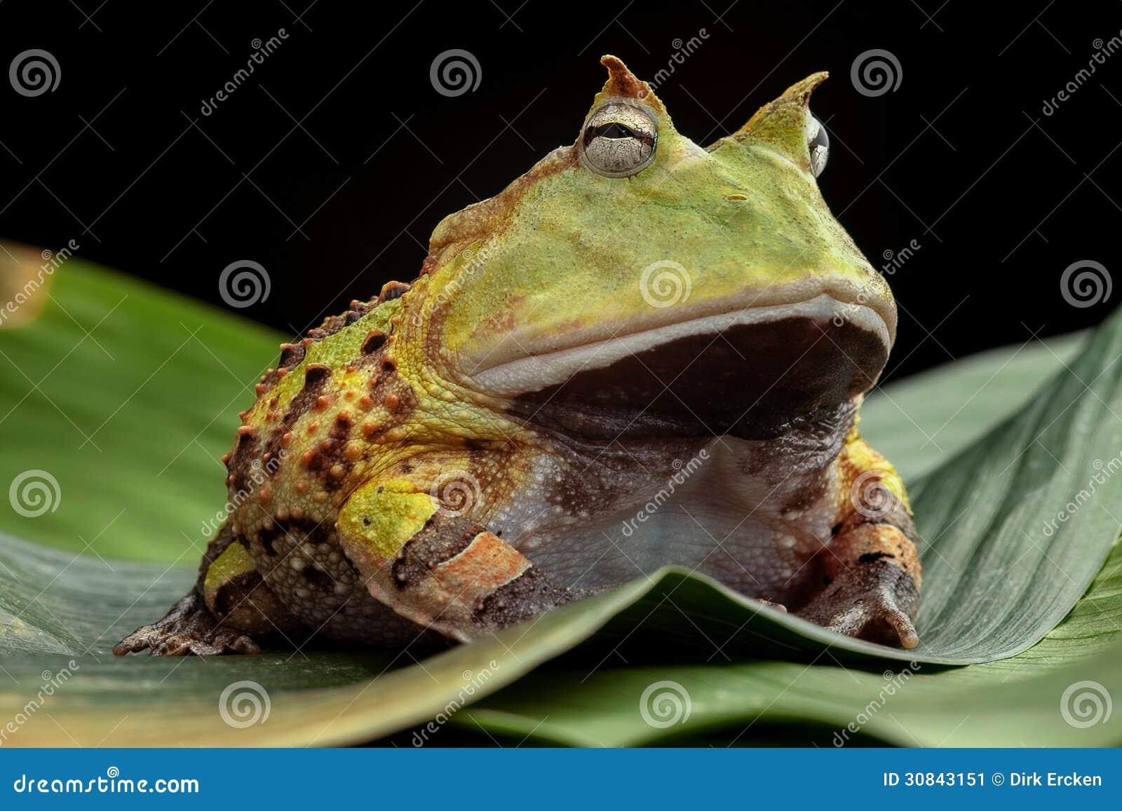pacman frosch oder geh rnte kr te stockbild bild von tier brasilien 30843151. Black Bedroom Furniture Sets. Home Design Ideas