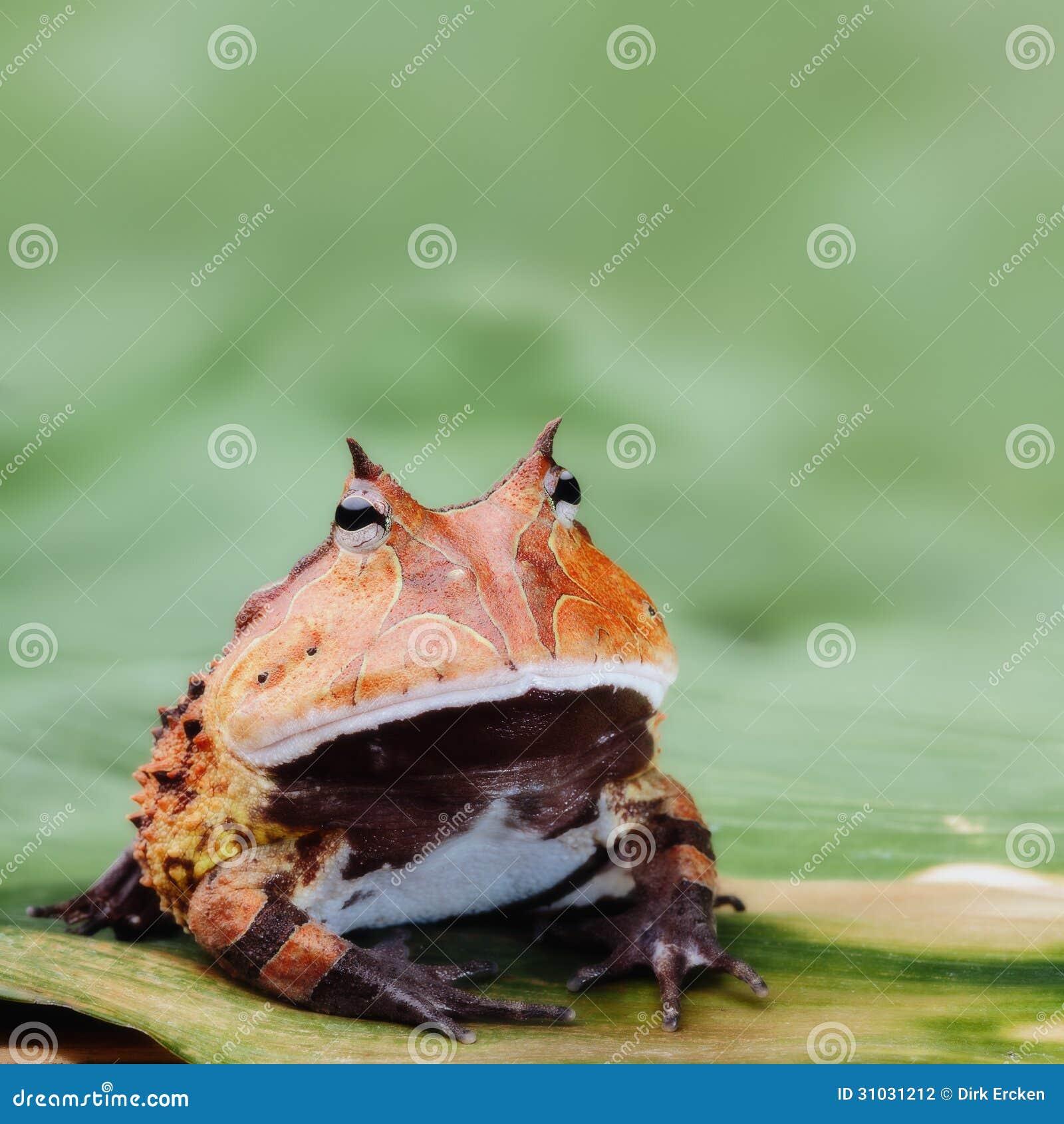 pacman frosch oder geh rnte kr te amazonas regenwald stockfotografie bild 31031212. Black Bedroom Furniture Sets. Home Design Ideas