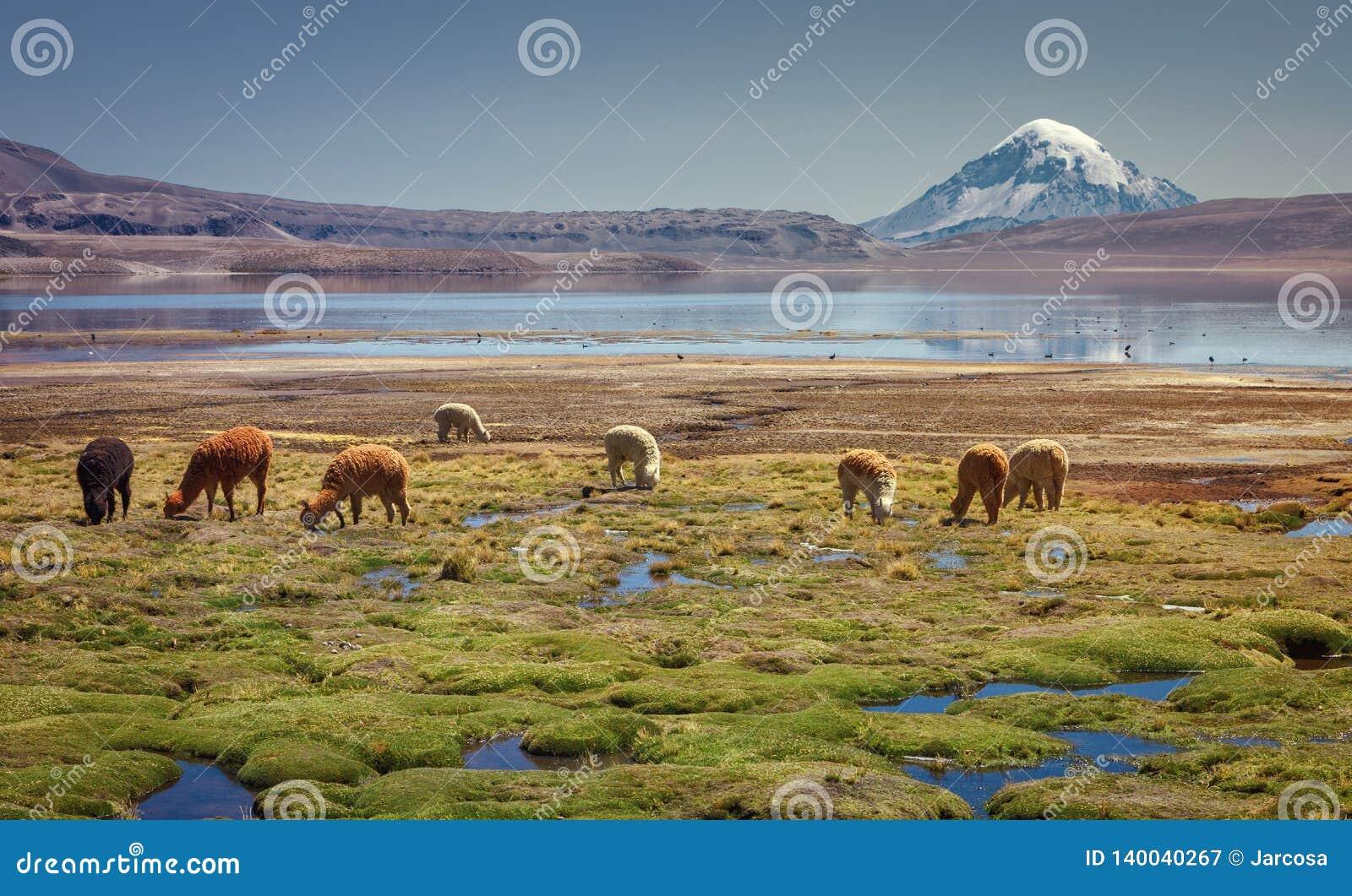 Pacos do Vicugna da alpaca que pastam na costa do lago Chungara na base do vulcão de Sajama, no Chile do norte