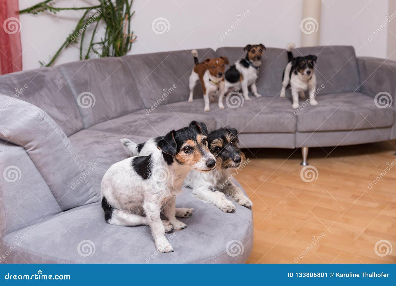 Paczka Jack Russell Terrier siedzi na kanapie