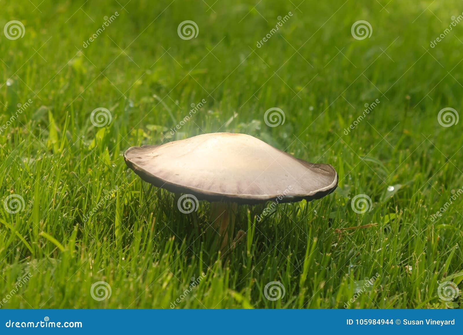 Paddestoel het groeien in groen gras met waterdruppeltjes - selectieve nadruk