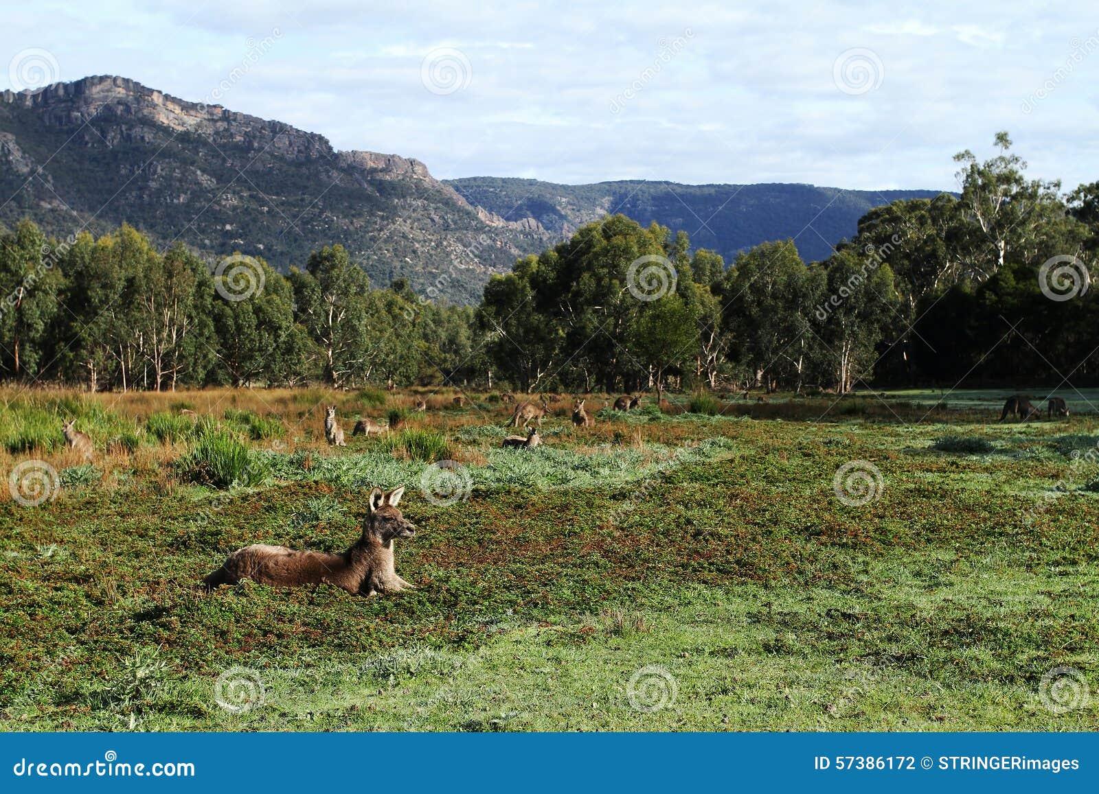 Paddock met Kangoeroes en omringende heuvels