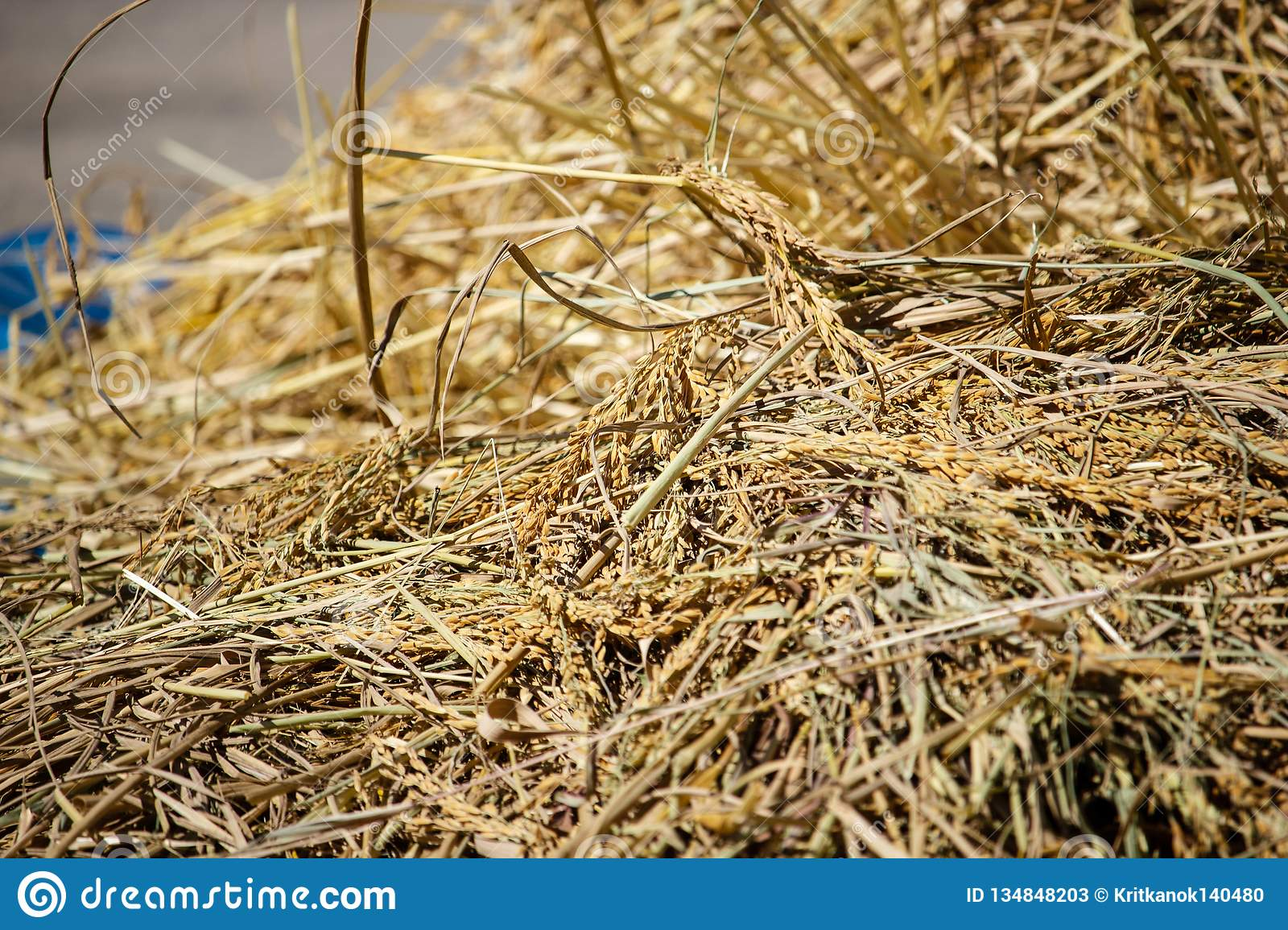 Paddy and dry straw pile on sunny day