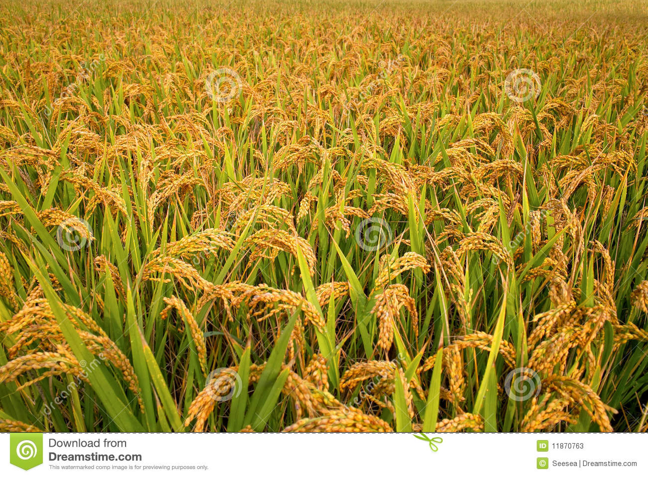 Paddy Field Stock Photos - Image: 11870763