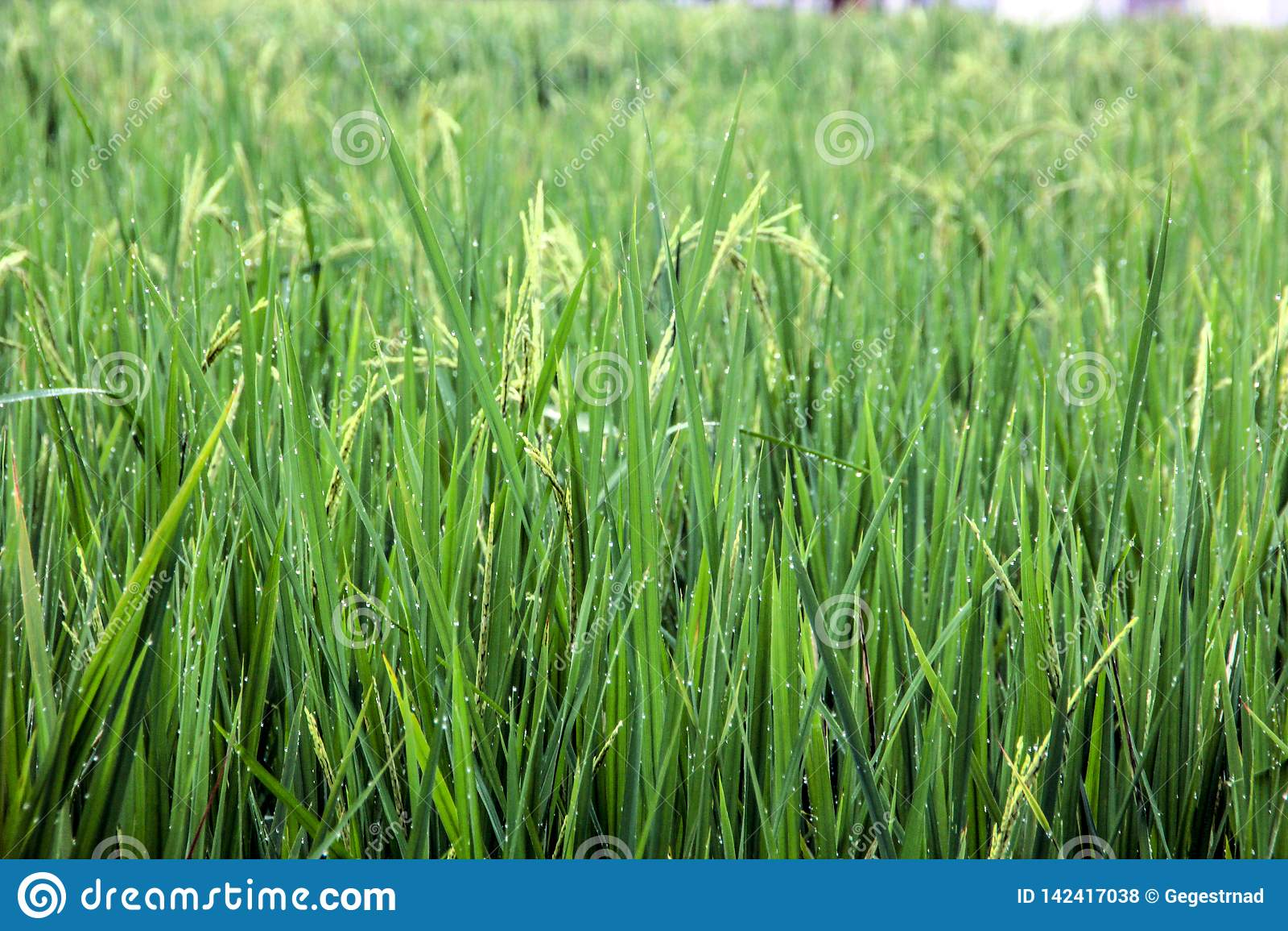 Paddy Field orvalhado verde