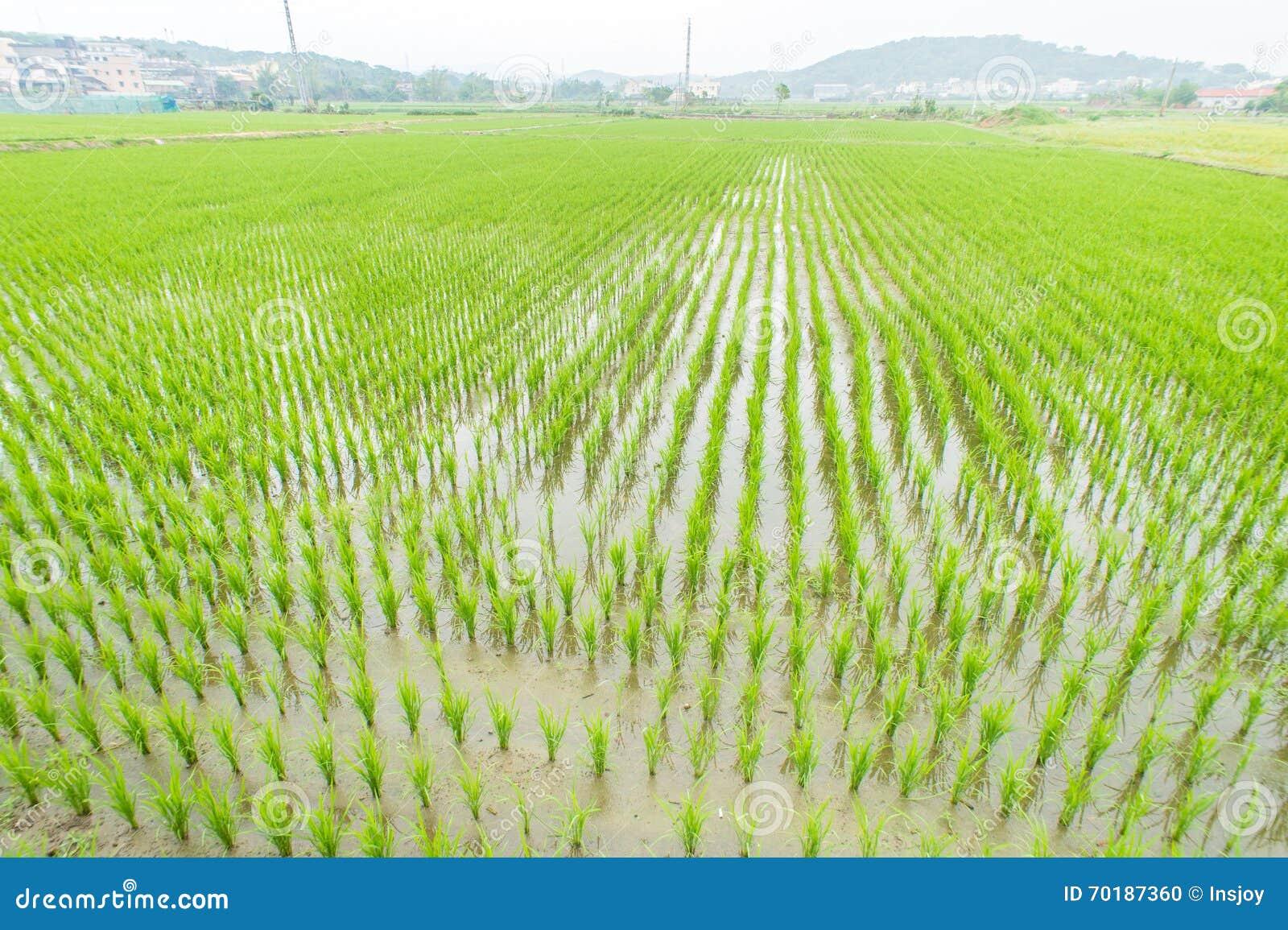 Paddy field (rice field)