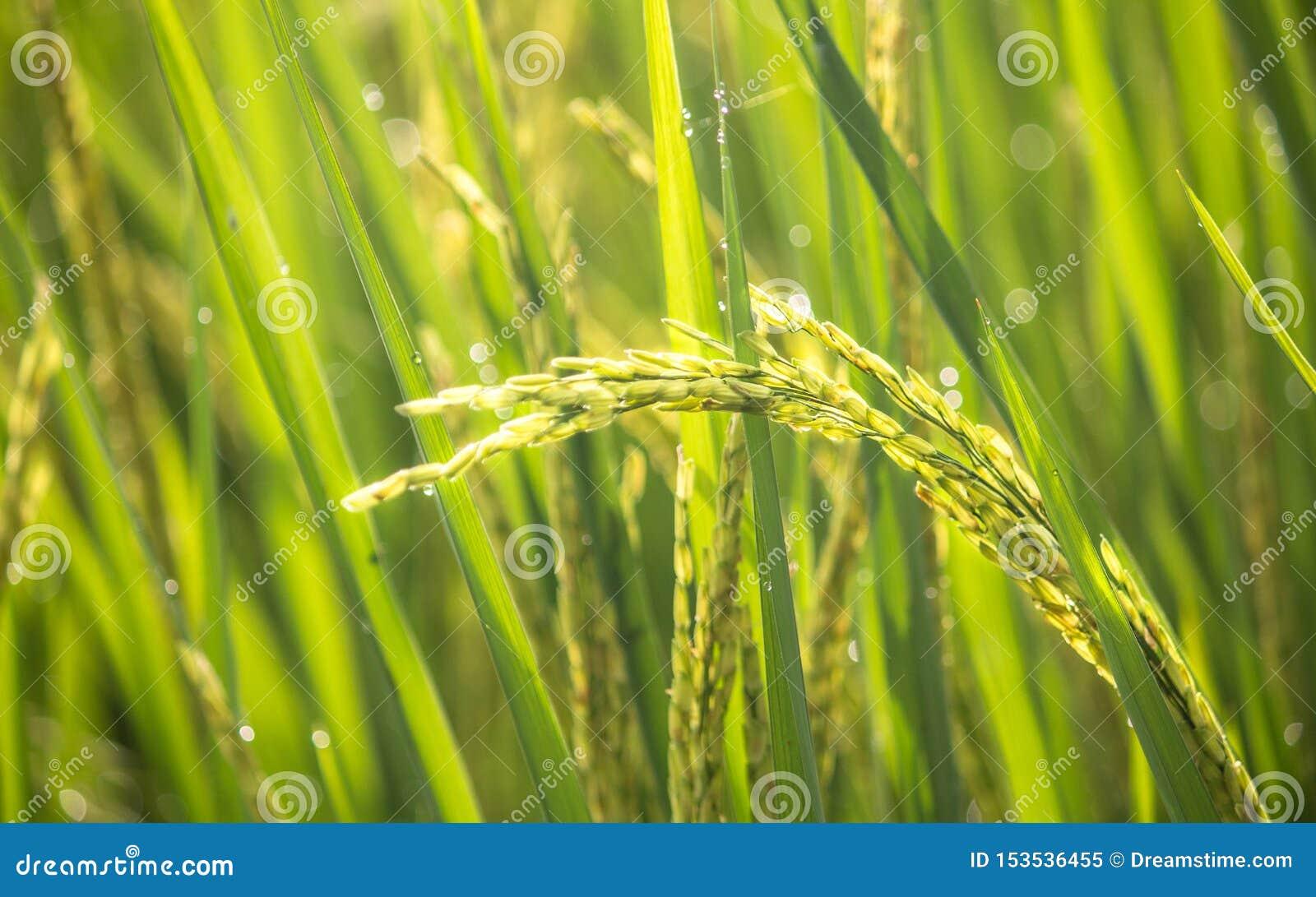 Paddy rice crop