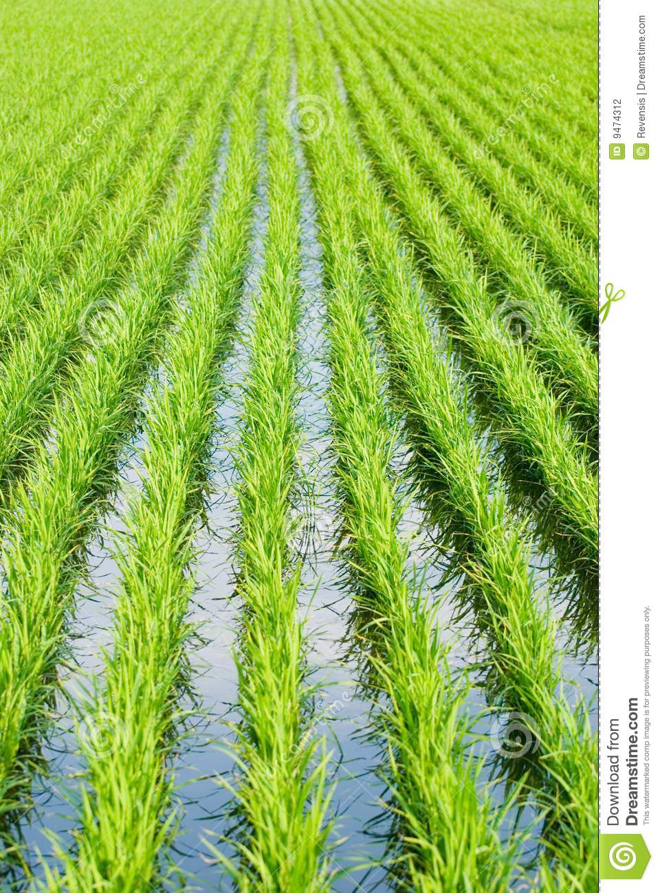 Paddy rice, Green field stock photo. Image of green ...