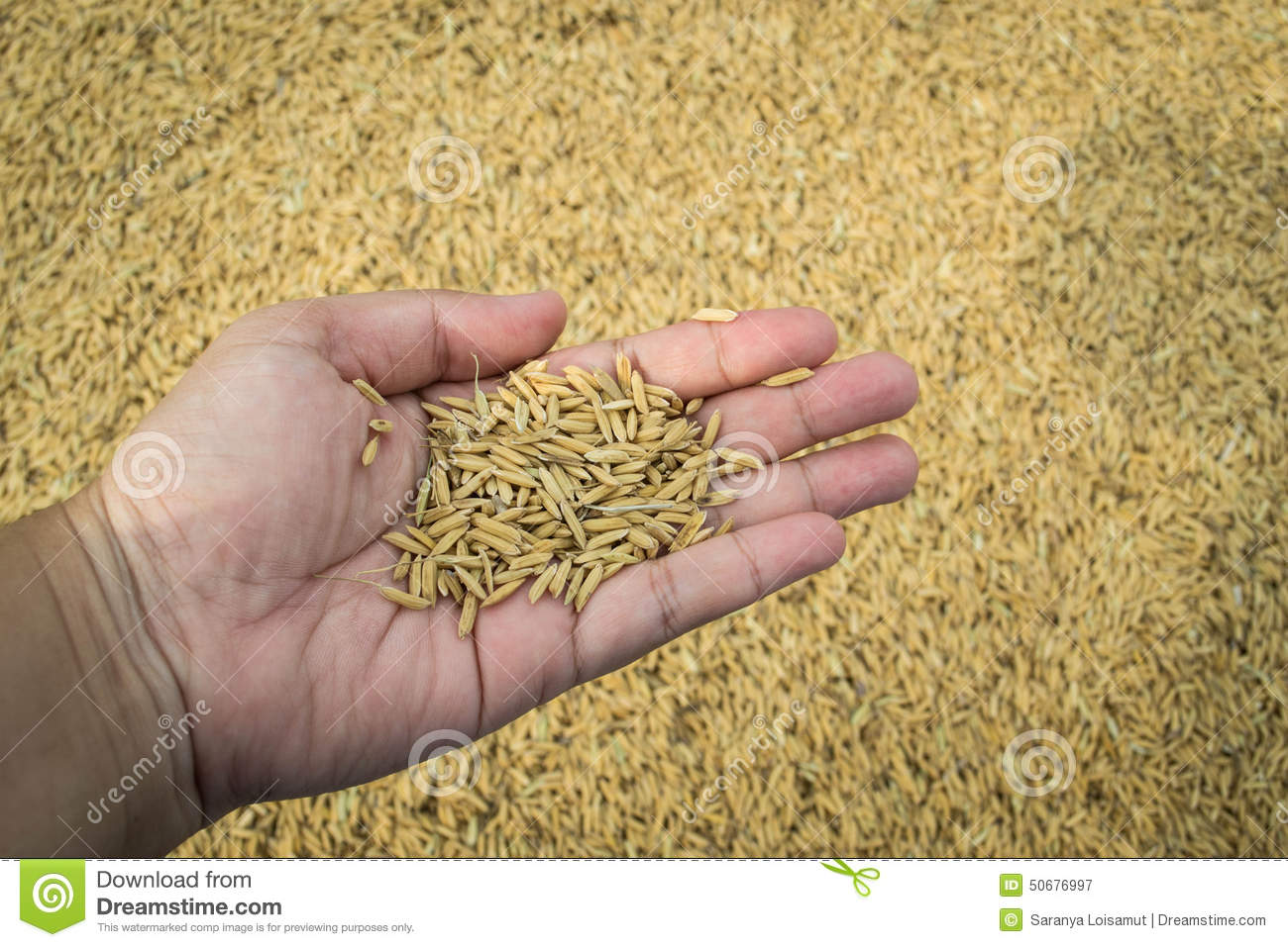 Paddy rice in hand
