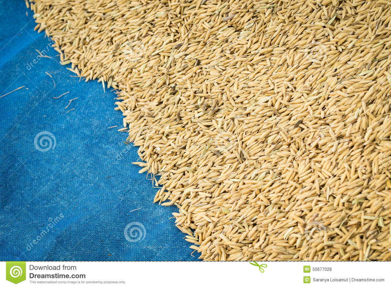 Paddy rice stock photo. Image of cultivation, climate ...