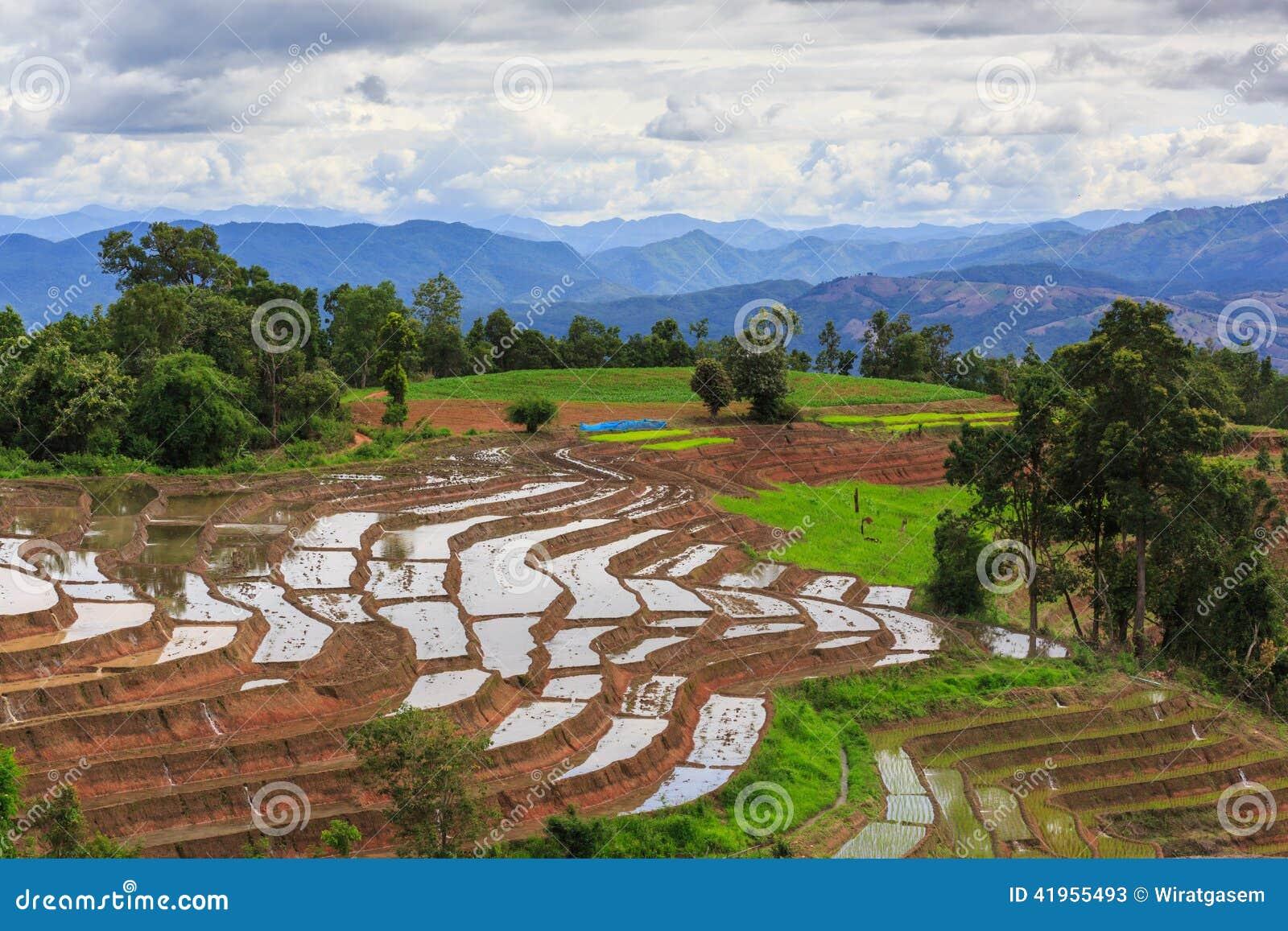 Paddy tarasujący pola