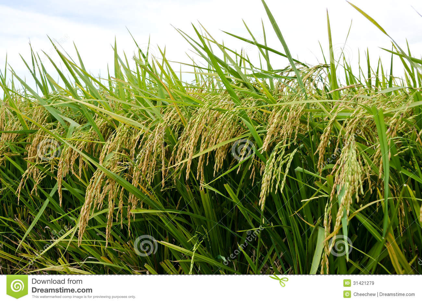 Padi Field, Sekinchan, Malaysia Stock Image - Image of countryside