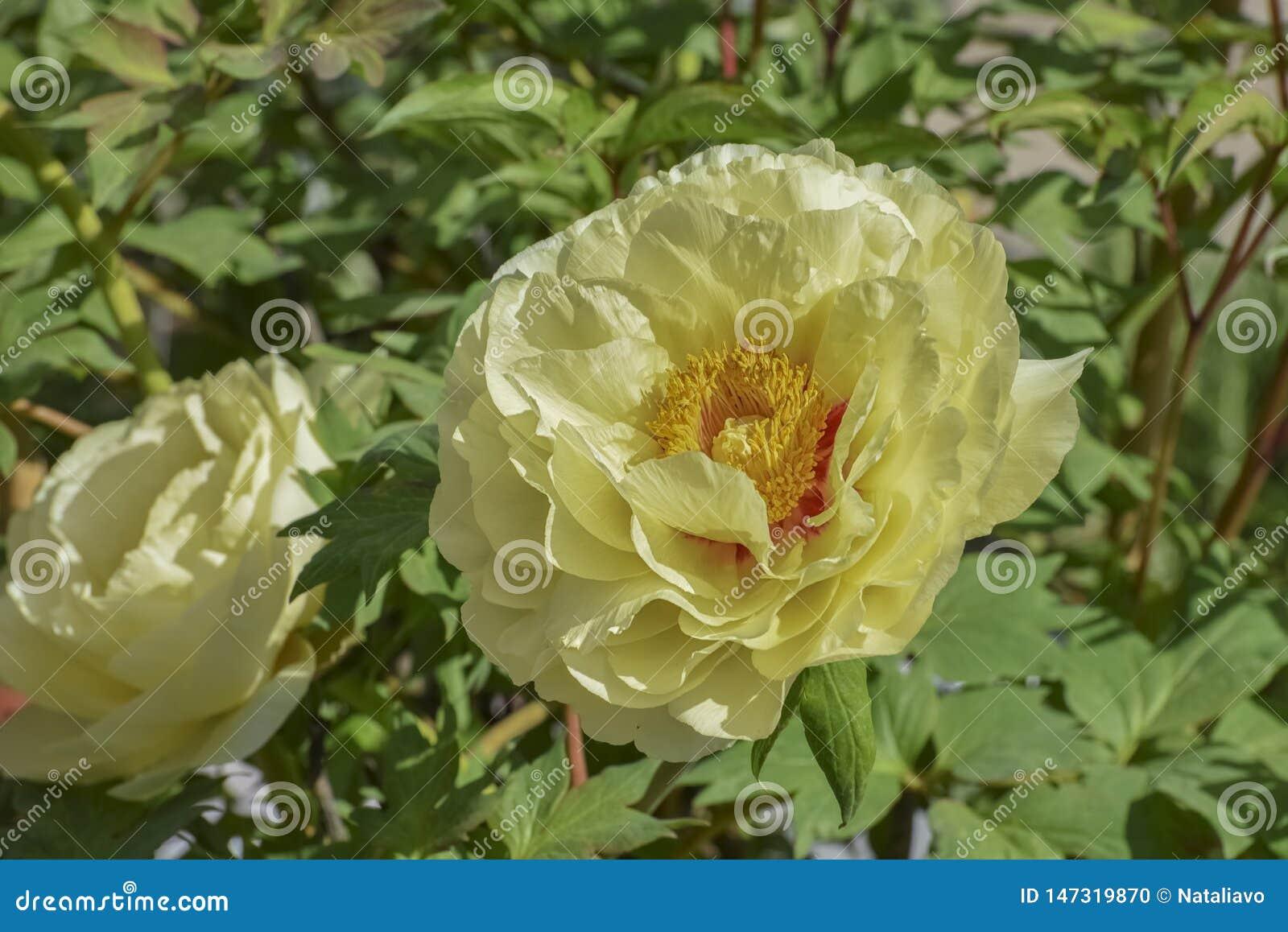 Paeonia Arborescens Deciduous Perennial Shrub With Big Yellow