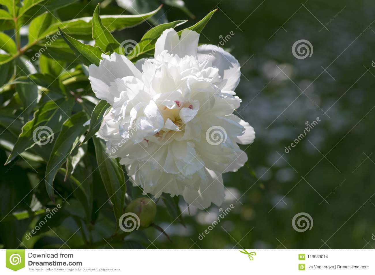 Paeonia Suffruticosa In Bloom With Double Flowers Green Shrub With