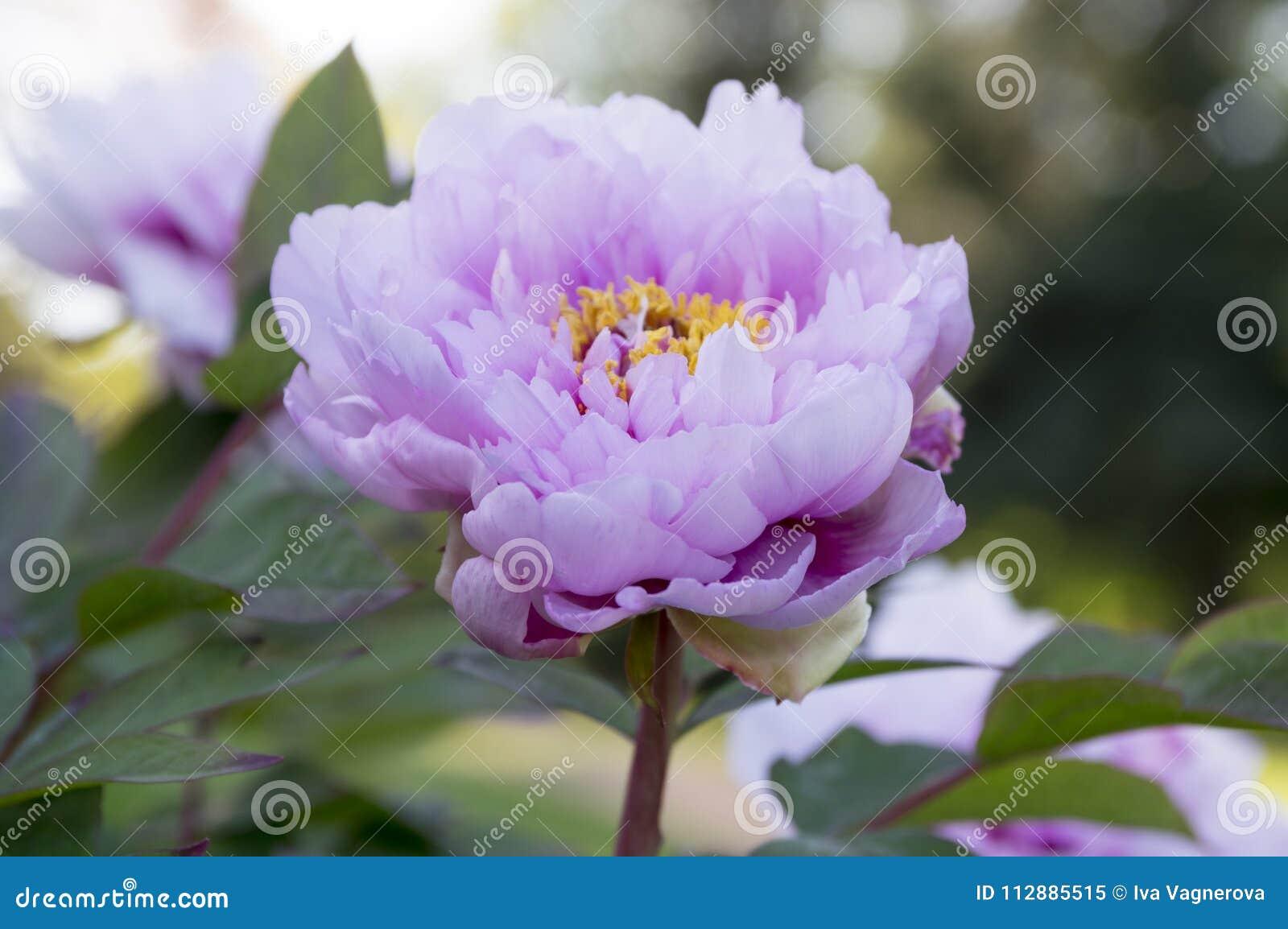 Paeonia Suffruticosa Tree Peonies In Bloom Stock Image Image Of