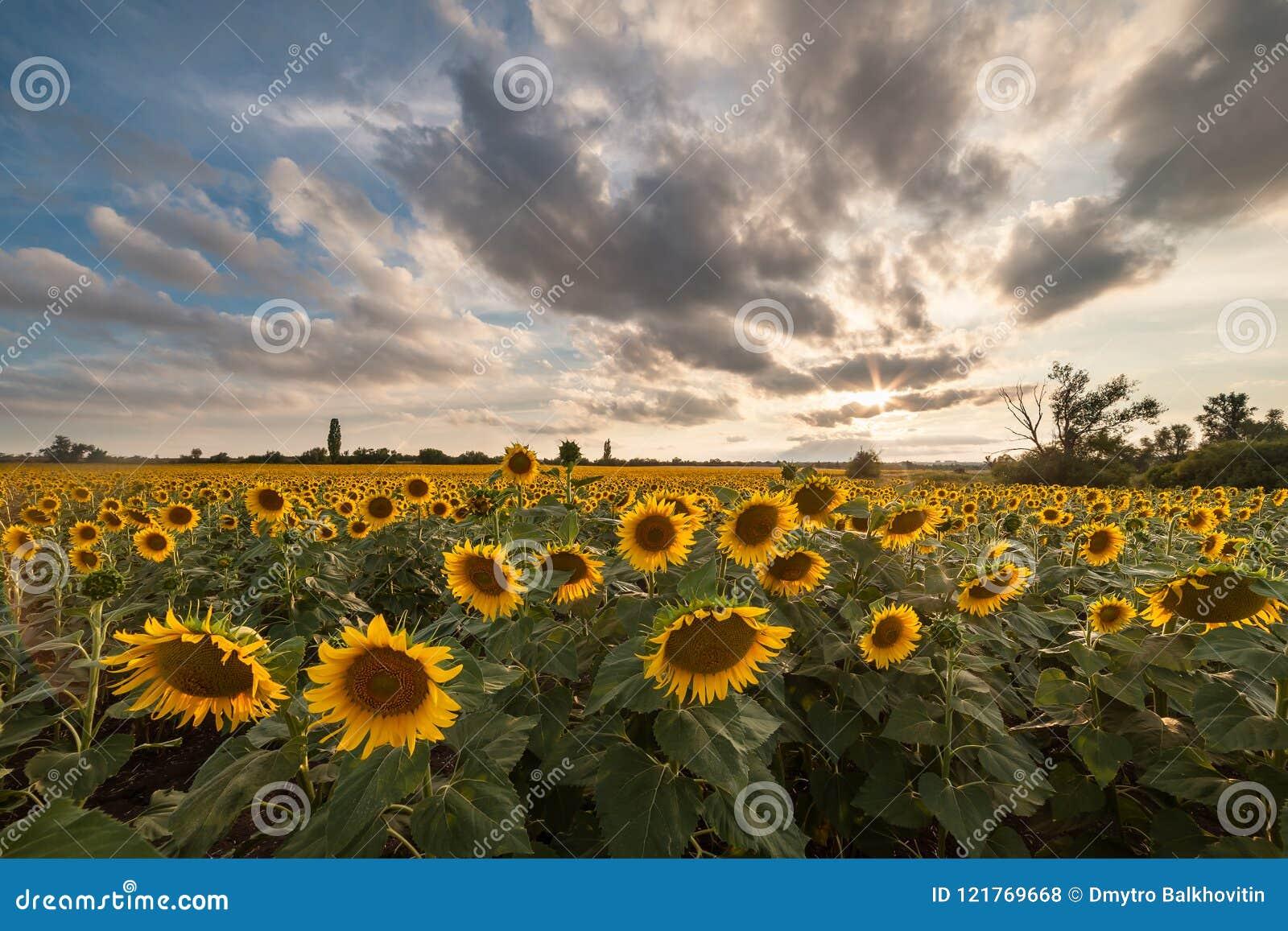 Paesaggio Agricolo Con I Girasoli Fotografia Stock - Immagine di ...