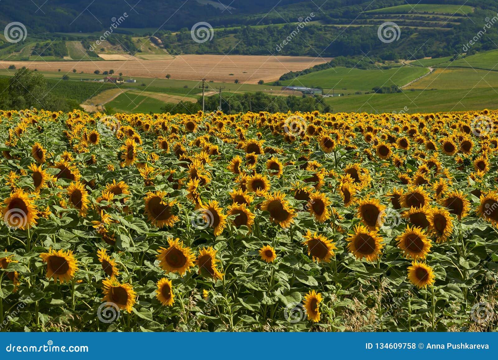 Paesaggio Con I Girasoli Di Estate Fotografia Stock - Immagine di ...
