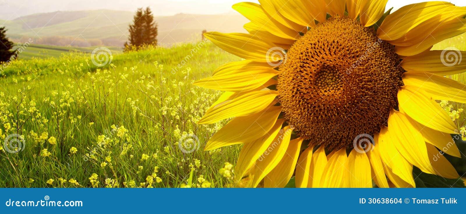 Paesaggio Con I Girasoli In Toscana, Fotografia Stock - Immagine di ...