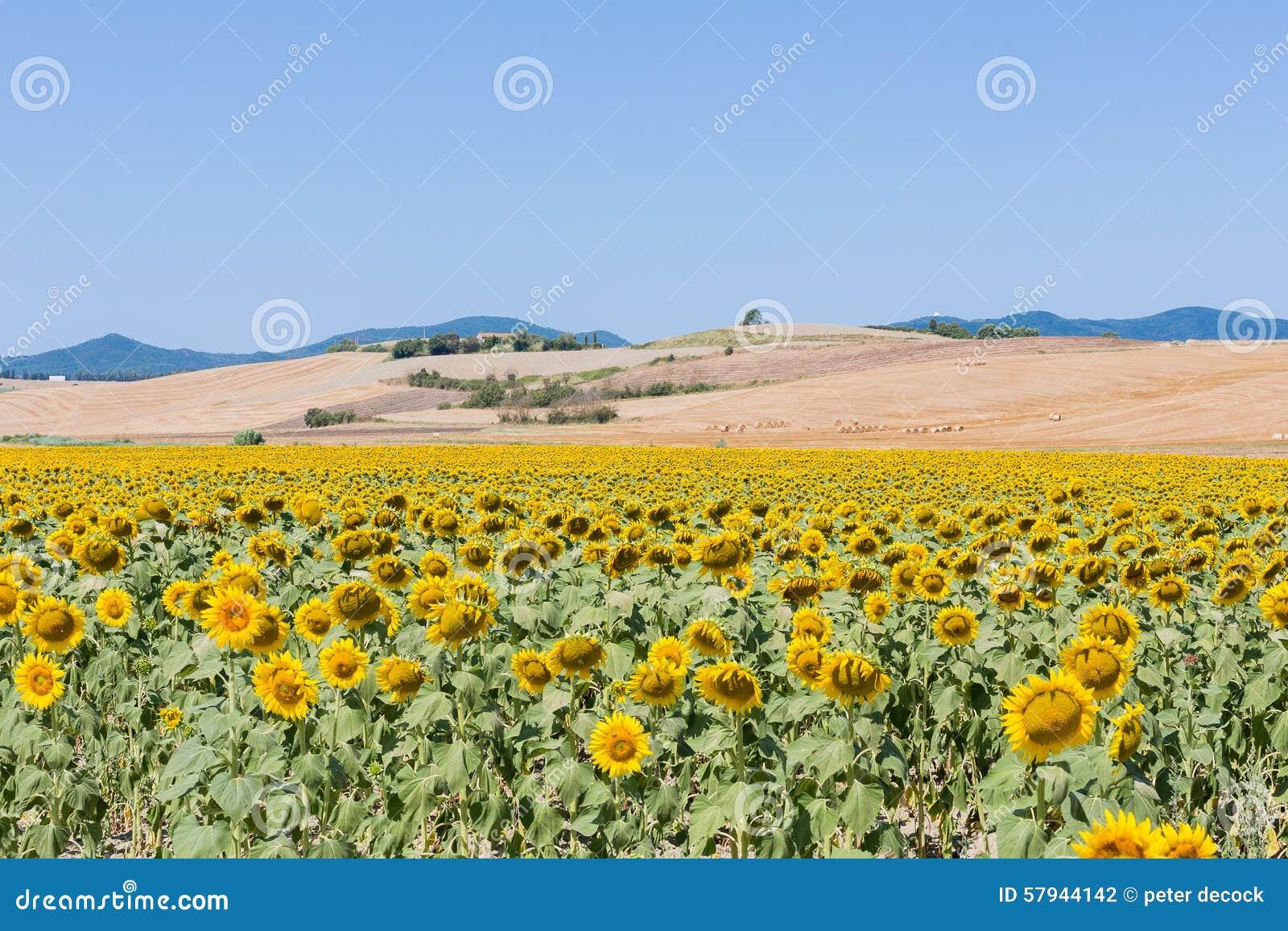 Paesaggio Con I Girasoli, Toscana Fotografia Stock - Immagine di ...