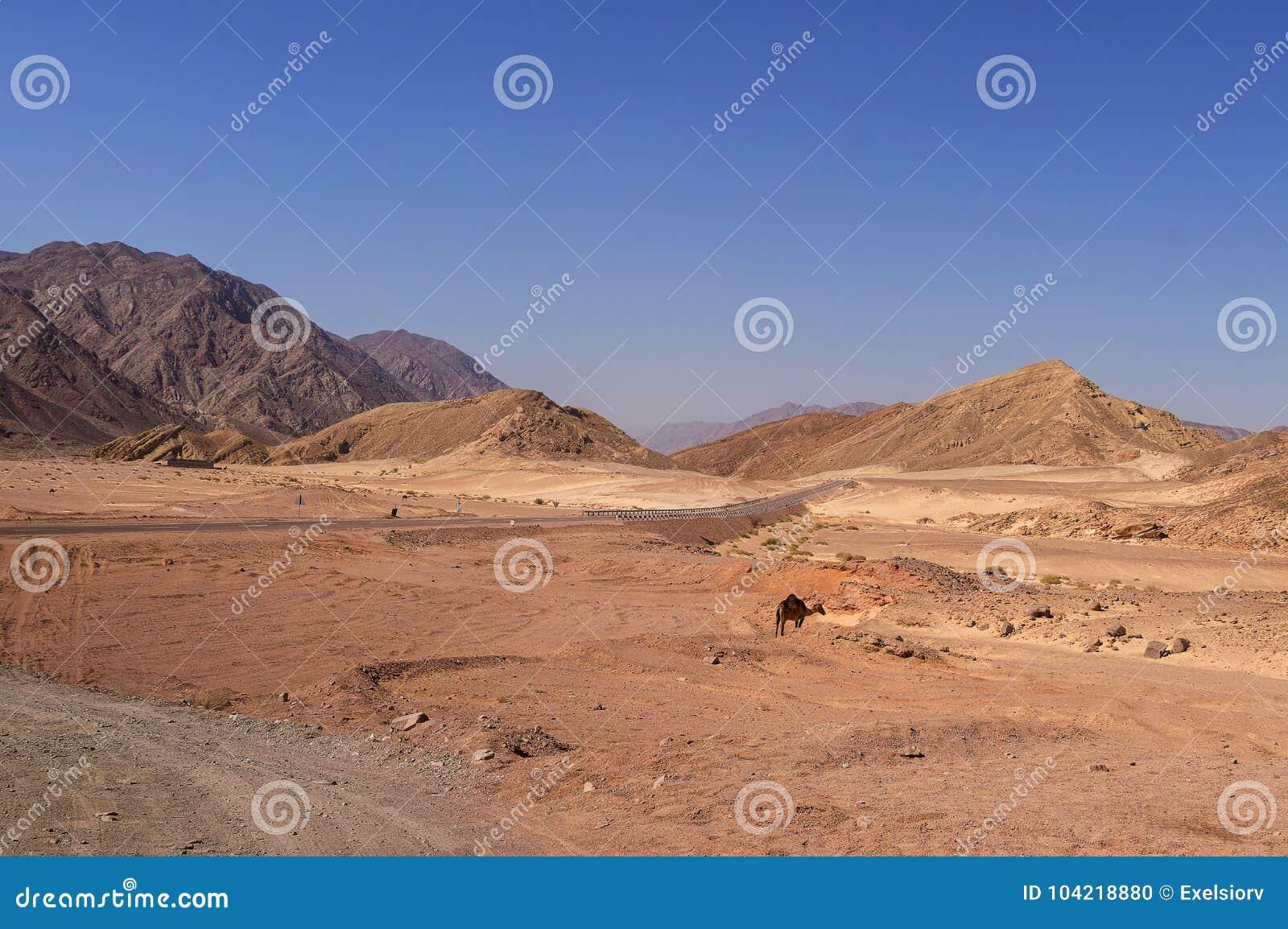 Paesaggio del deserto, strada, cammelli