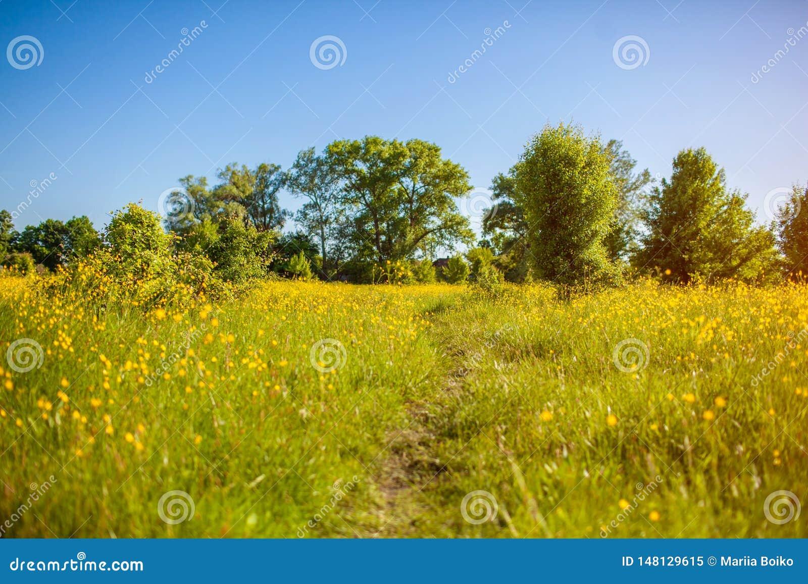 Paesaggio del giacimento della primavera Percorso rurale circondato con erba ed i fiori gialli Sfondo naturale