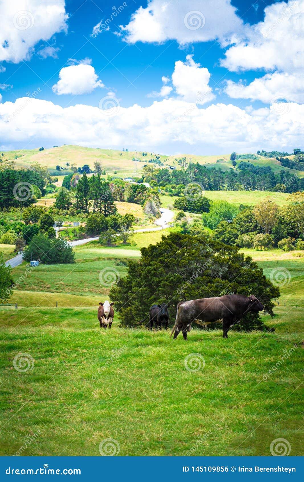 Paesaggio del paese con due mucche e un toro marrone che guarda diritto nella macchina fotografica da un pascolo verde fertile di