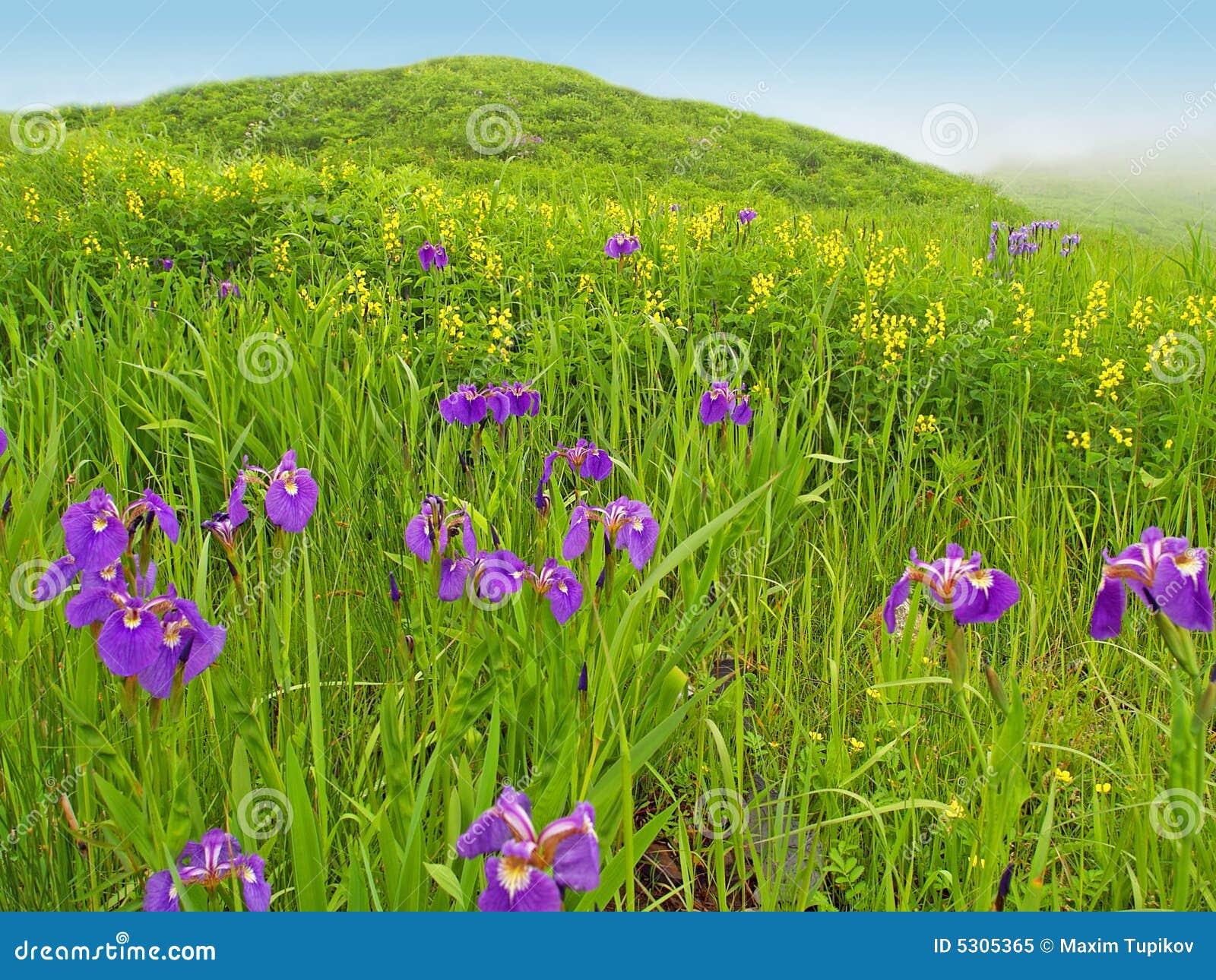 Download Paesaggio Del Prato Della Sorgente Con I Fiori Viola Immagine Stock - Immagine di nebbia, petali: 5305365