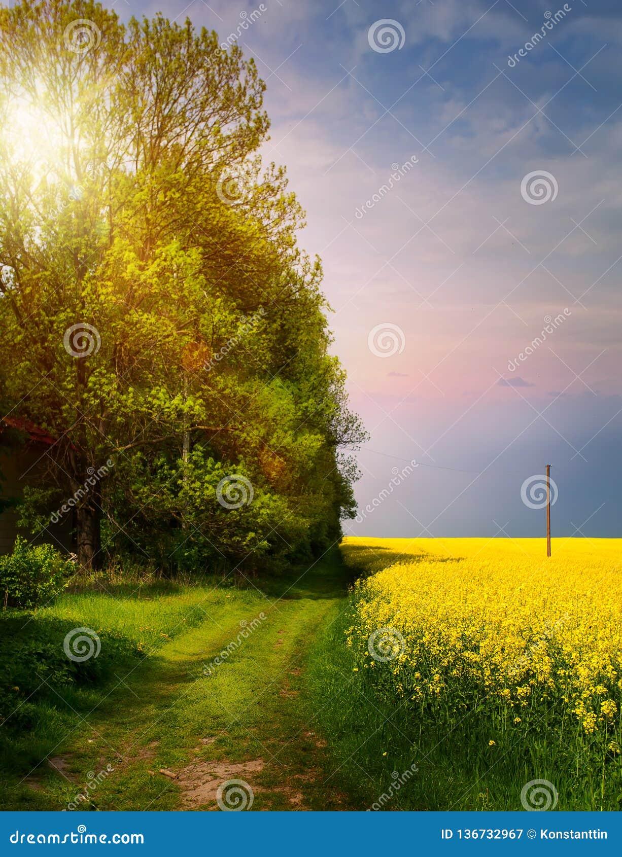 Paesaggio della campagna della primavera; alba sopra il campo giallo di fioritura