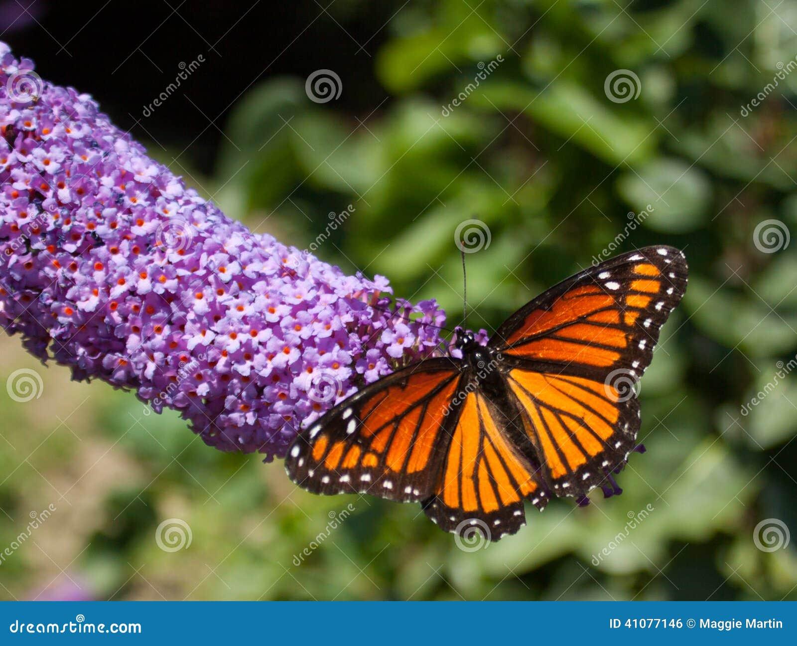 Paesaggio della farfalla di monarca