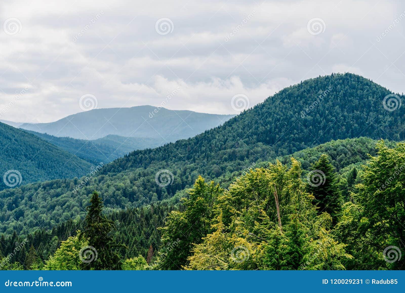 Paesaggio della nebbia di Forest With Evergreen Trees In della montagna carpatica