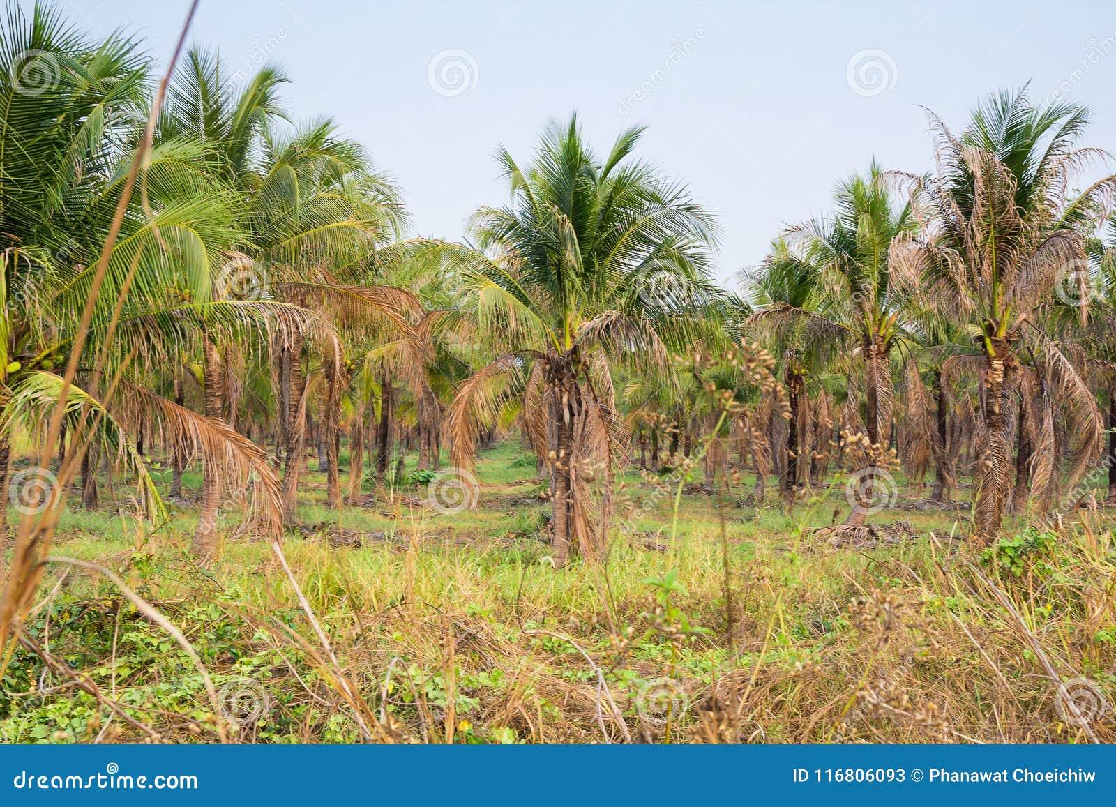 Paesaggio della piantagione del cocco in paese tropicale