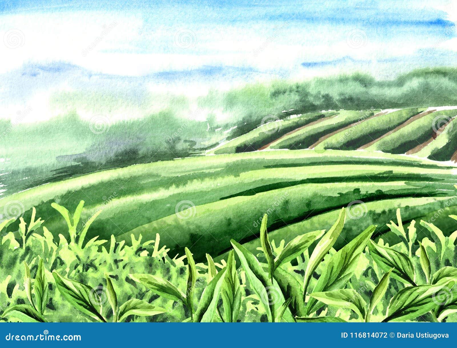 Paesaggio della piantagione di tè Foglie di tè Illustrazione disegnata a mano dell acquerello