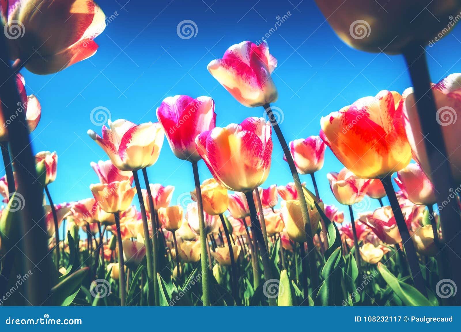 Paesaggio della primavera con i bei tulipani gialli e rosa natura a