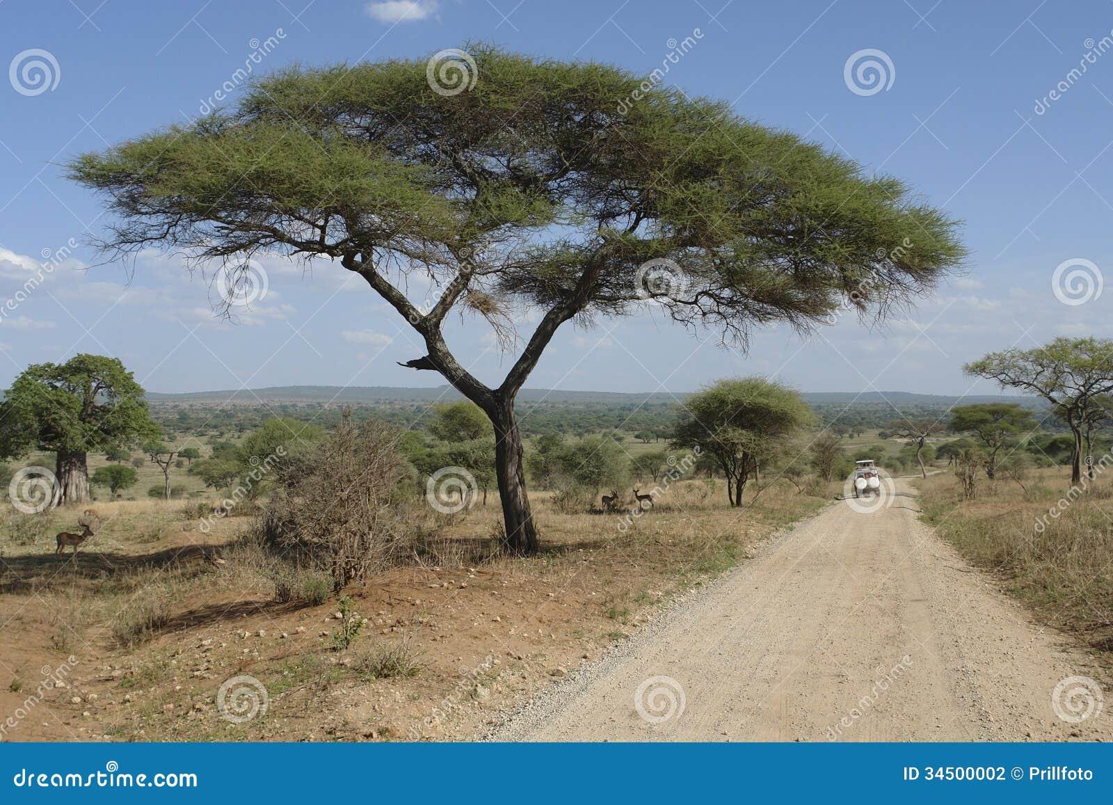 Paesaggio della savana con l 39 acacia e la strada dell for Acacia albero