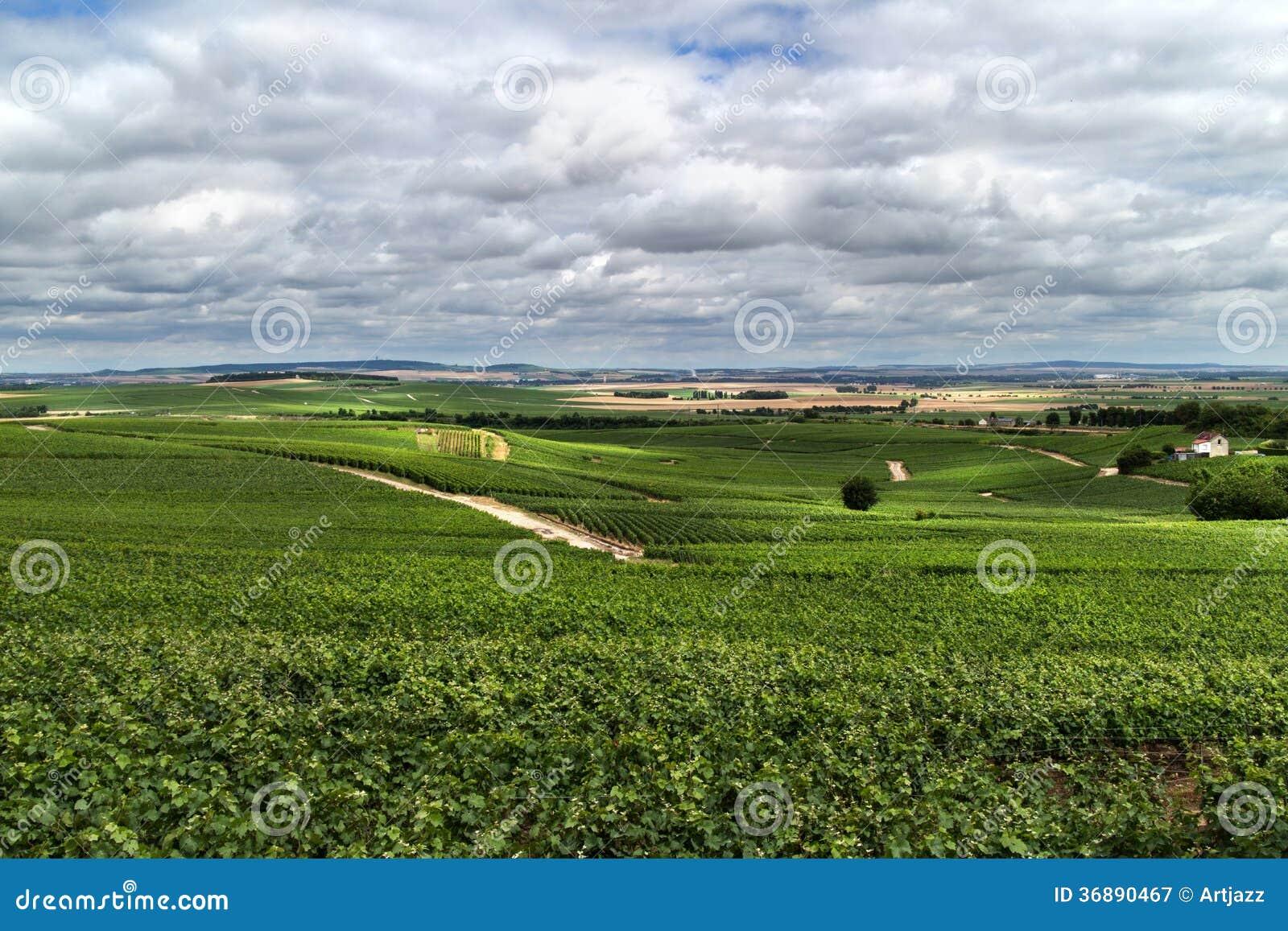 Download Paesaggio Della Vigna, Montagne De Reims Immagine Stock - Immagine di fila, campo: 36890467