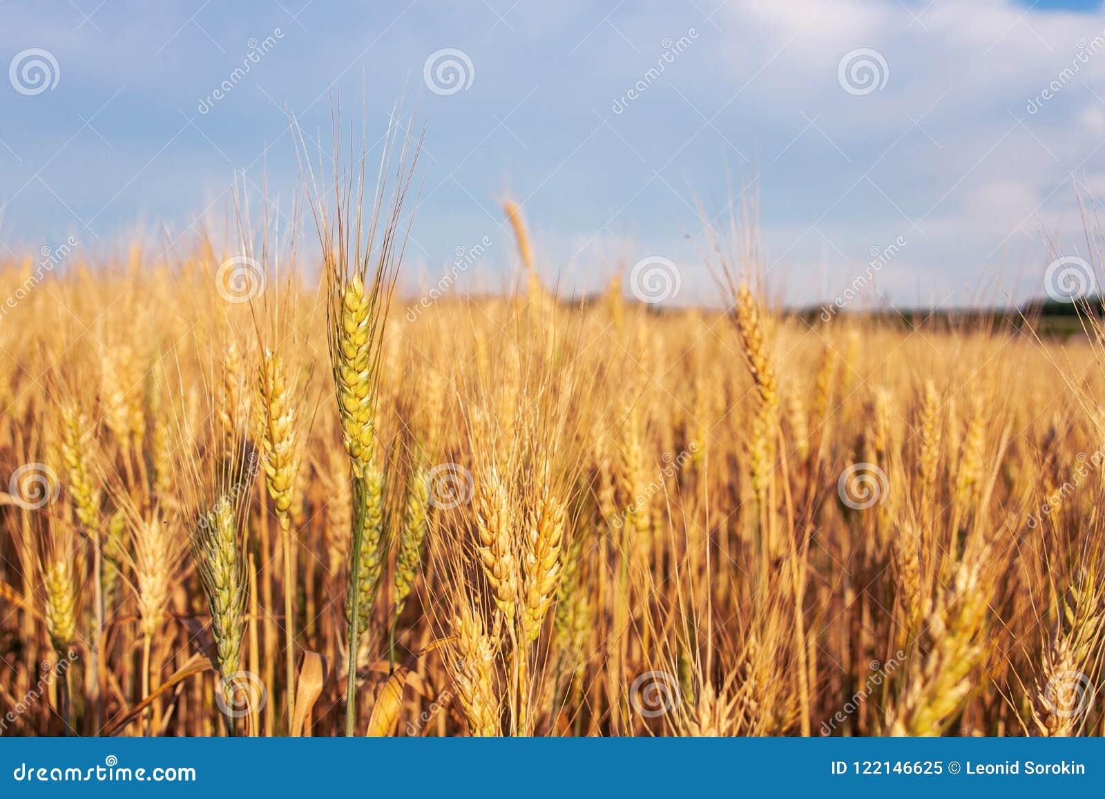 Paesaggio di estate con il giacimento ed il cielo di grano