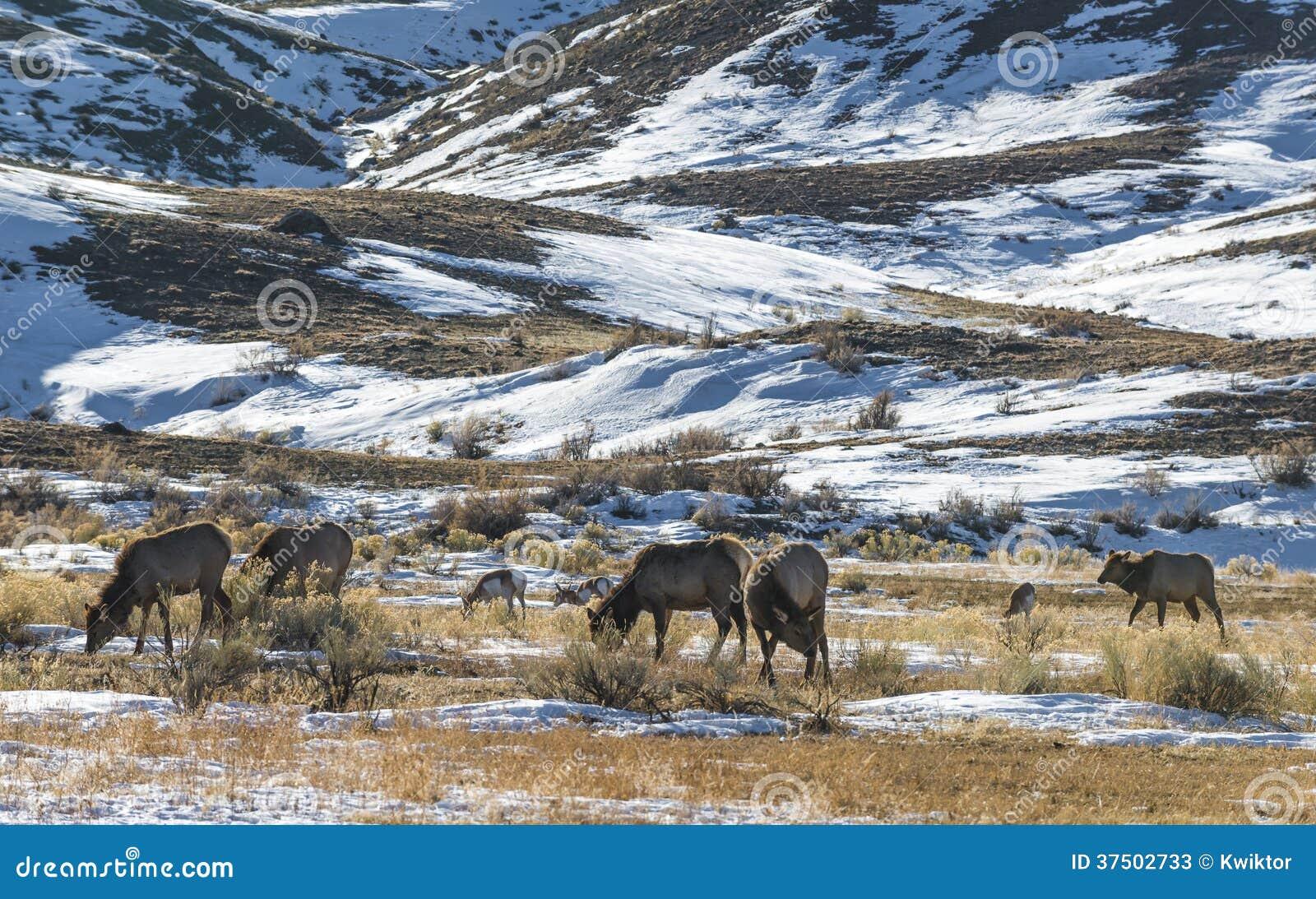 Paesaggio di inverno di Yellowstone