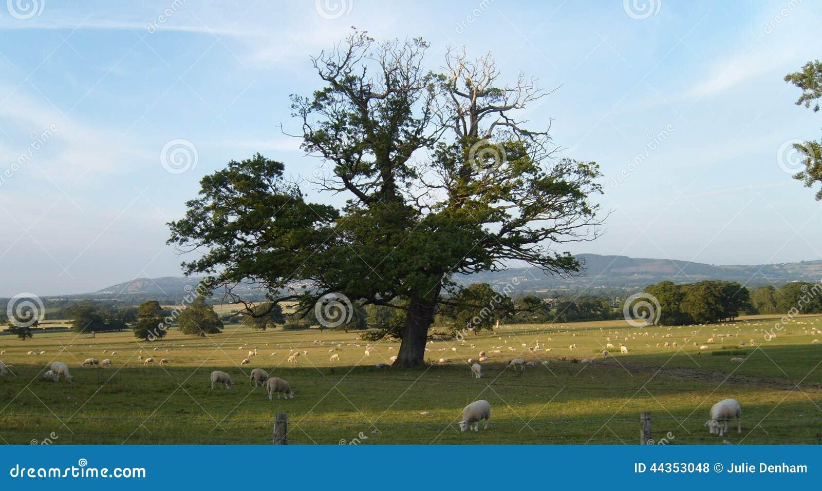 Paesaggio di Lingua gallese: Pascolo delle pecore