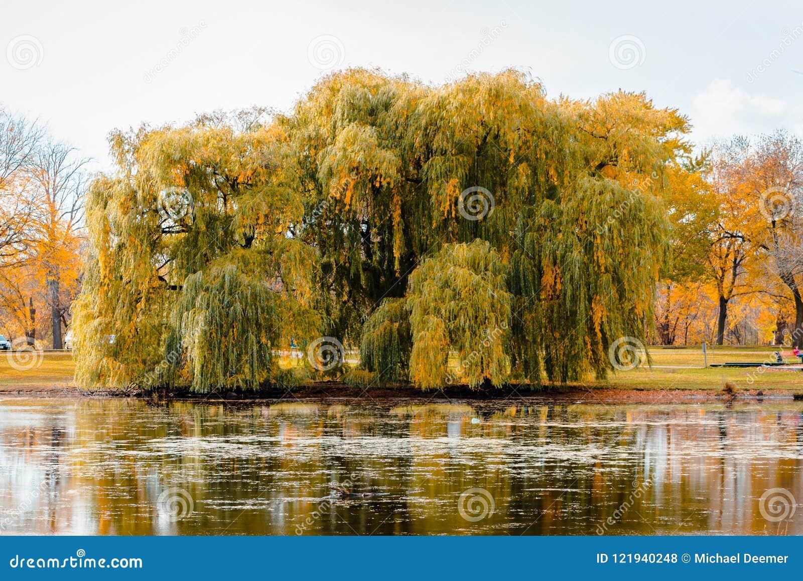 Paesaggio di un albero di salice piangente durante la caduta dallo stagno nel parco della riva del fiume a Grand Rapids Michigan