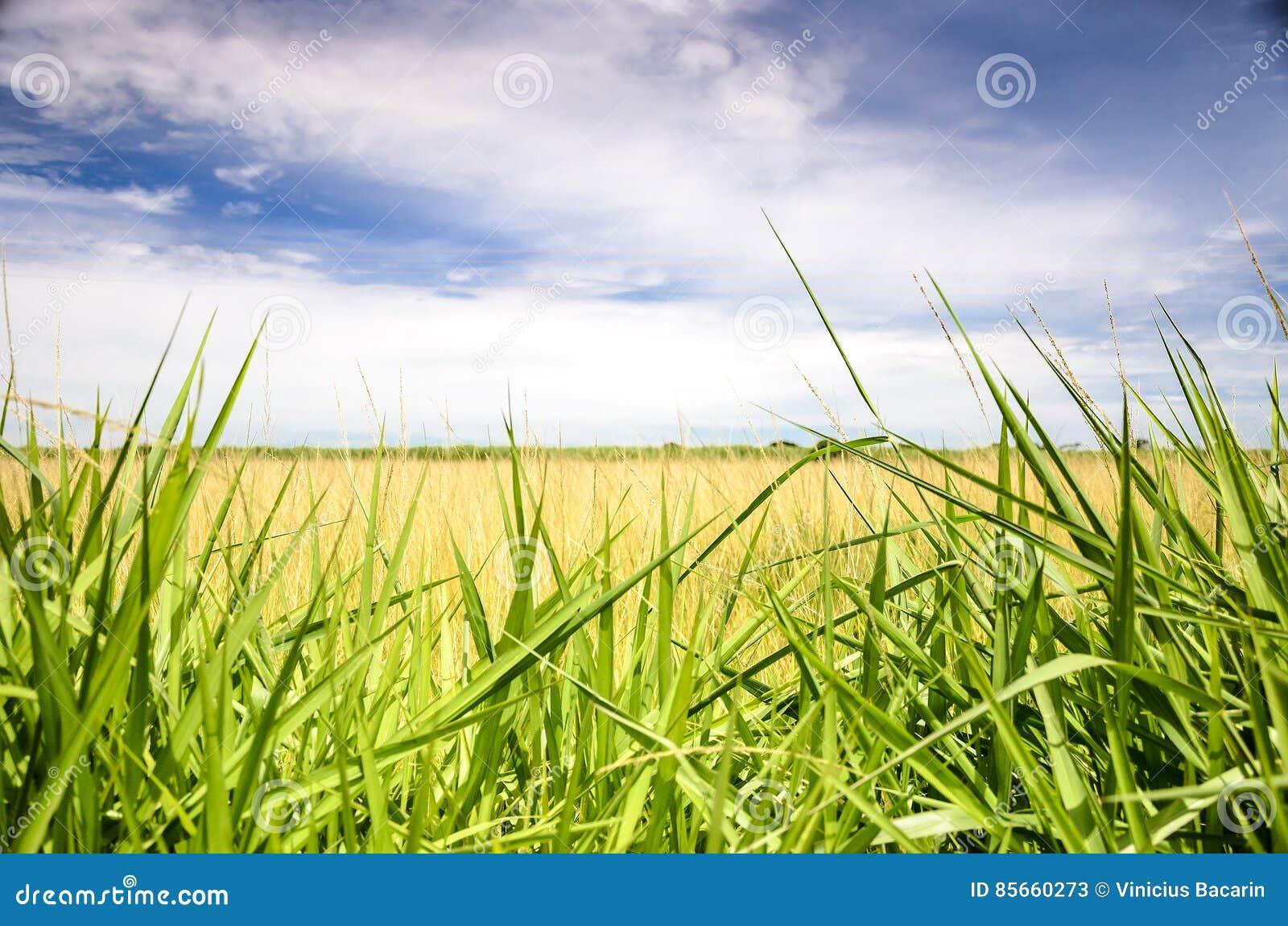 Paesaggio di un campo aperto con erba verde