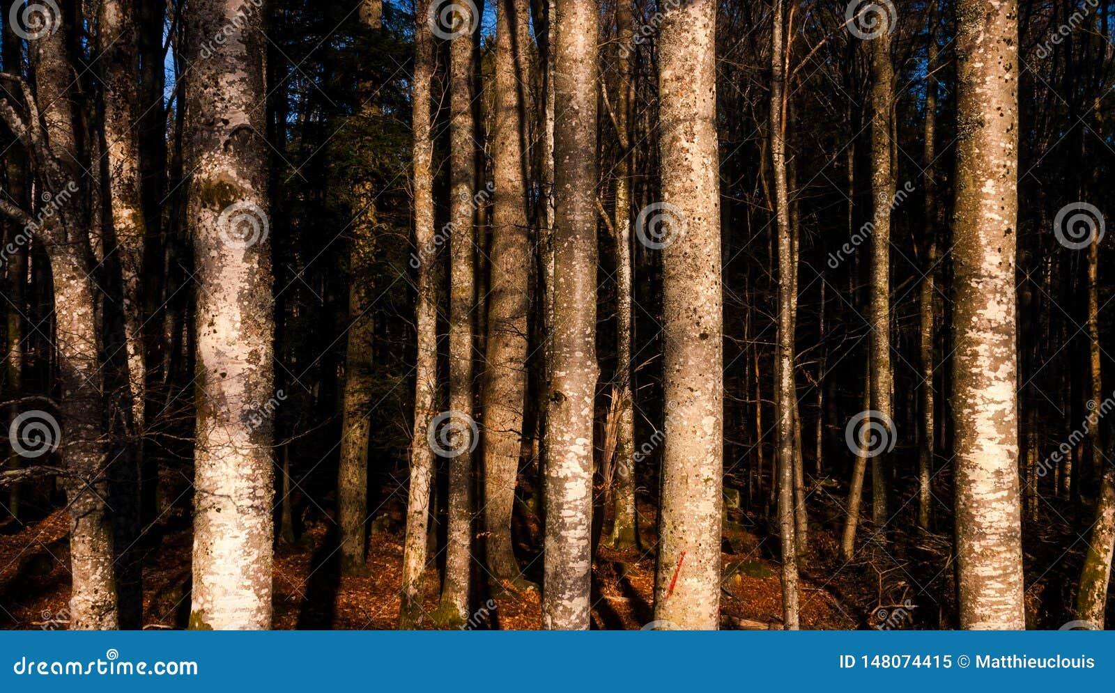 Paesaggio dorato della foresta di ora Carta da parati, fondo o contesto del modello dei tronchi di albero