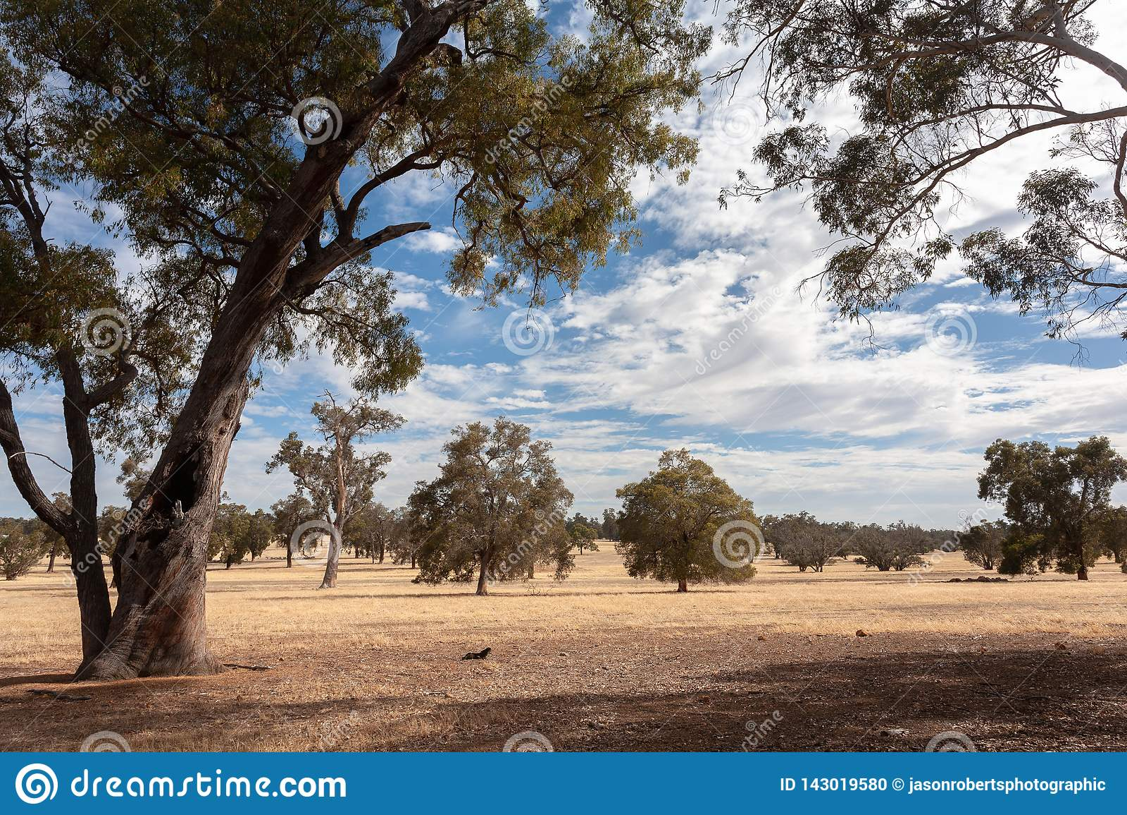 Paesaggio piano australiano asciutto con gli alberi sotto un cielo blu con le nuvole bianche