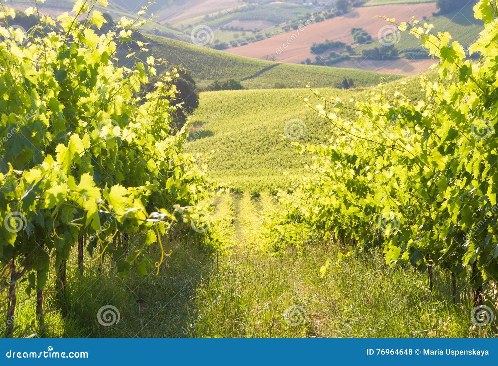 Paesaggio rurale con una vigna verde fra le colline