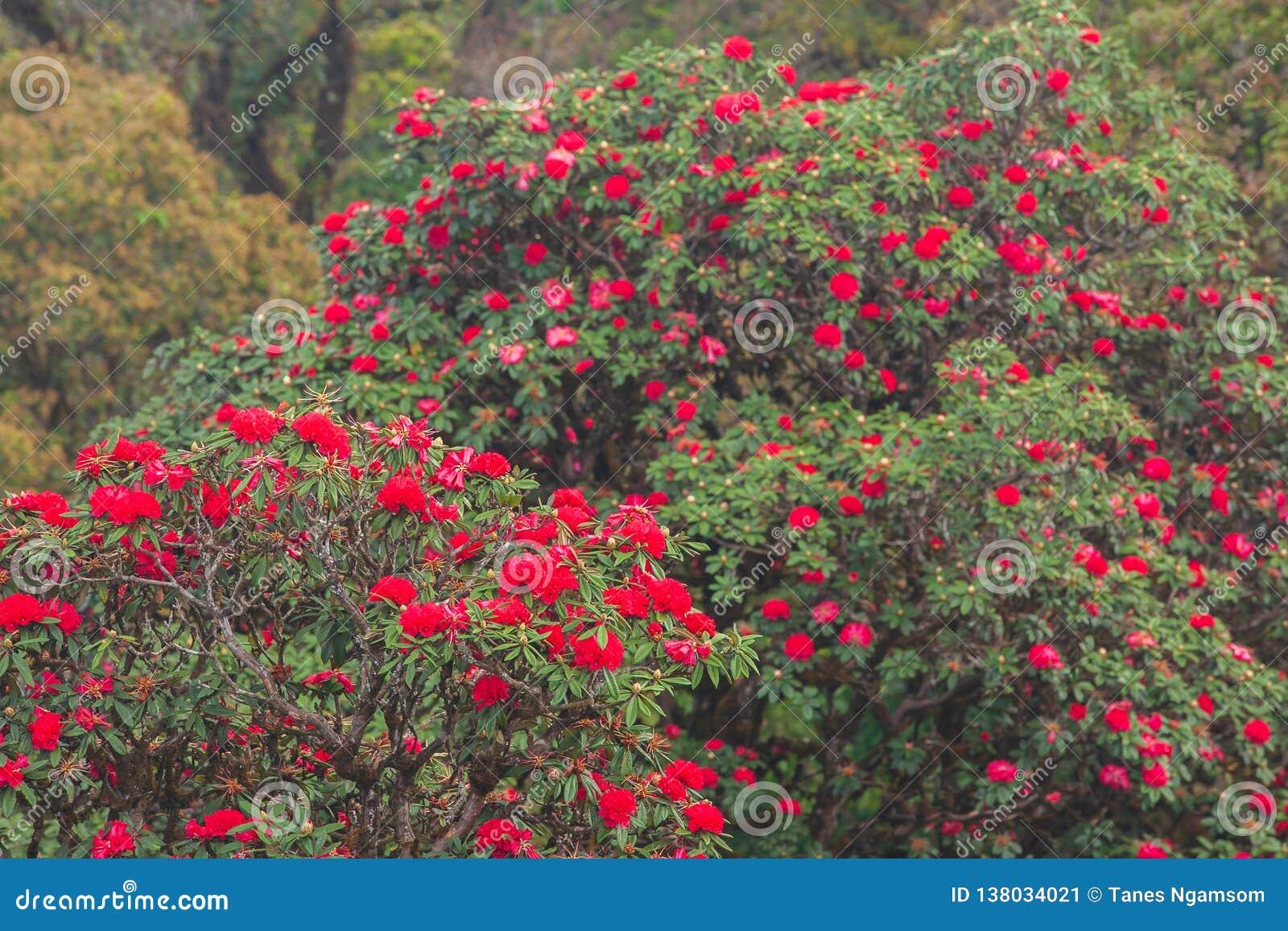 Paesaggio scenico luminoso con la fioritura fresca del fiore rosso antico del rododendro sulla luce di mattina Stagione specifica