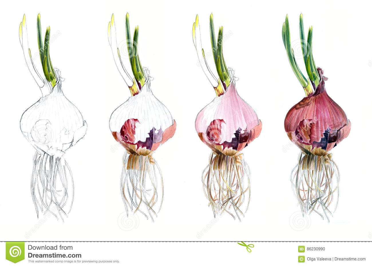 Page shows how drawing red onions watercolor sketch draw for Watercolor steps