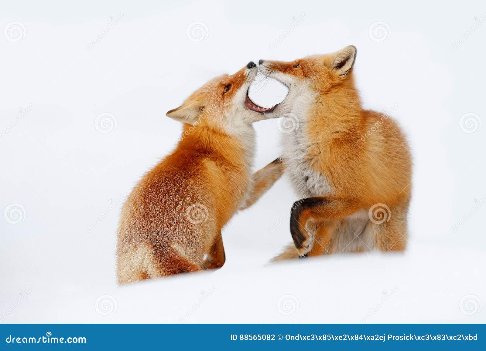 Paia della volpe rossa che giocano nella neve Momento divertente in natura Scena di inverno con l animale selvatico arancio della