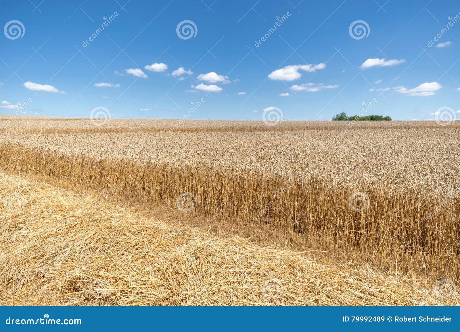 Paille devant un champ de blé mûr