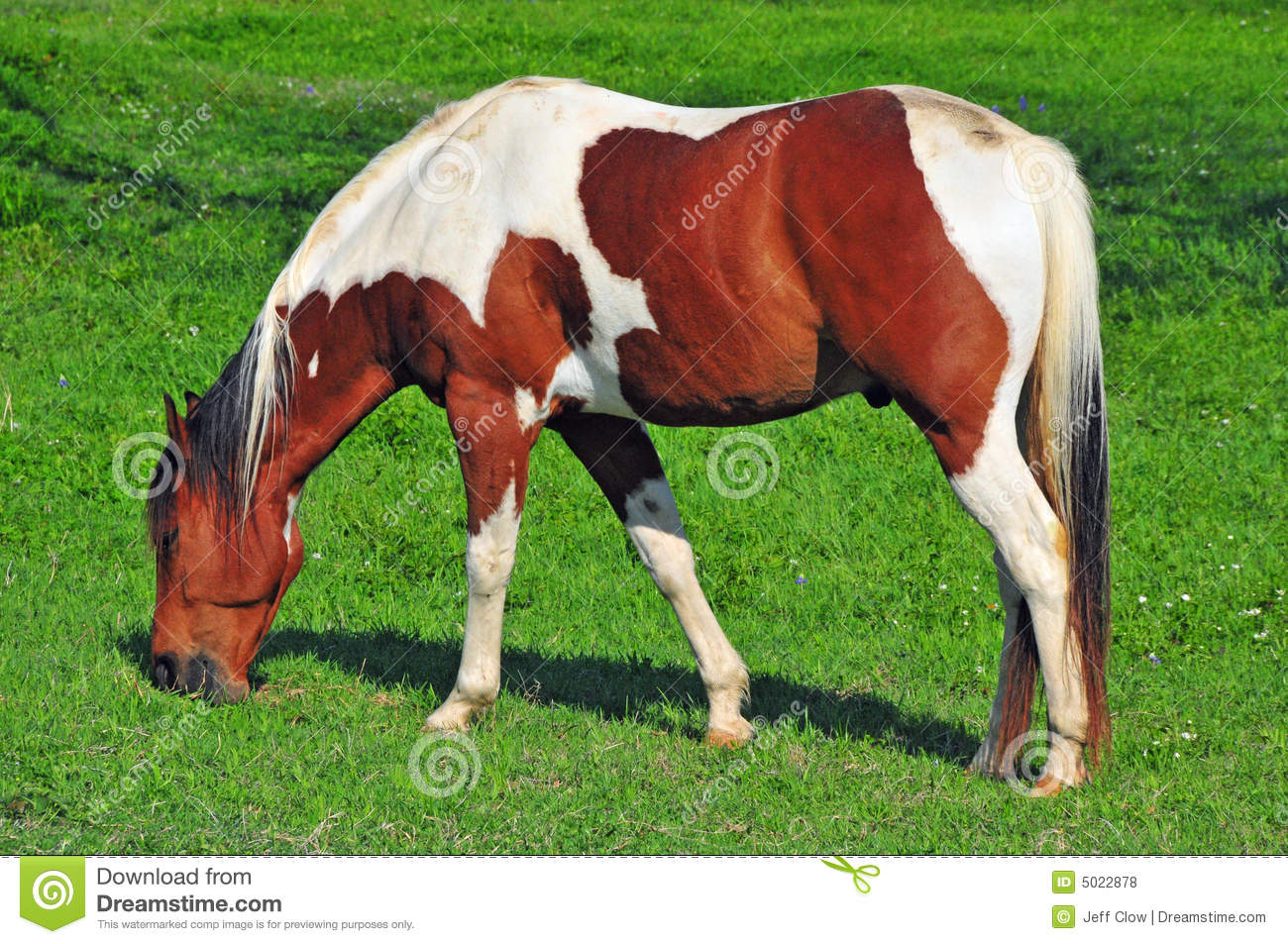 Paint Horse Grazing In A Green Meadow Stock Photo - Image ...